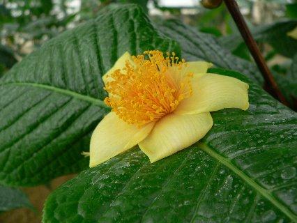 ベトナム産の原種椿 - ムラウチイ(ムラウチィ)