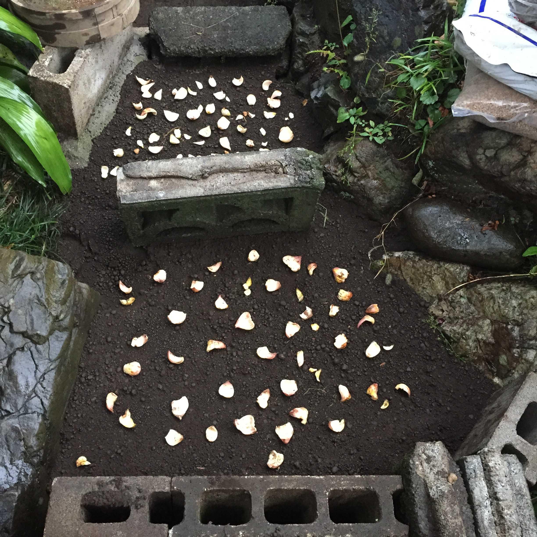 山百合の鱗片定植(鱗片繁殖)