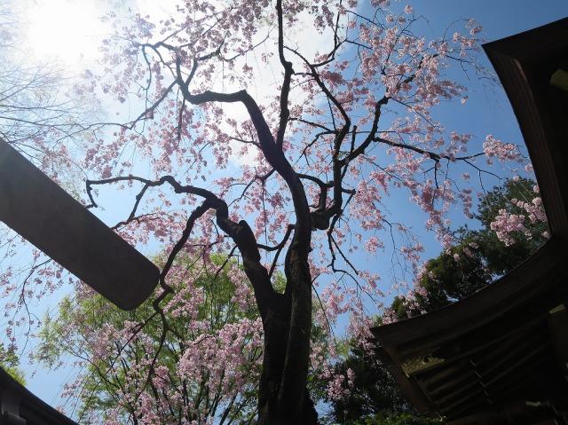 子安神社のサクラ