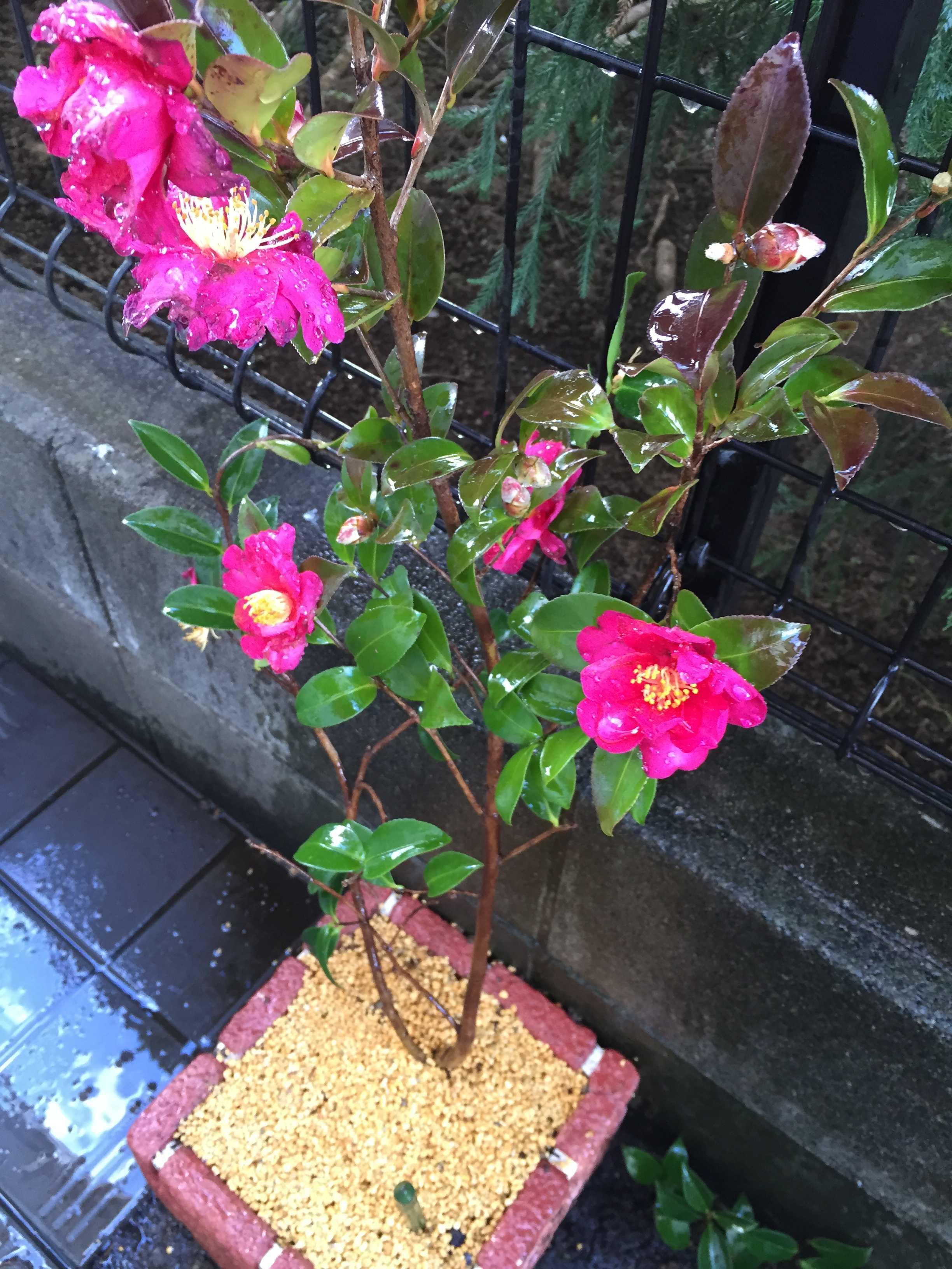 ショッキングピンク色のサザンカ(タチカン/立寒椿)の勘次郎
