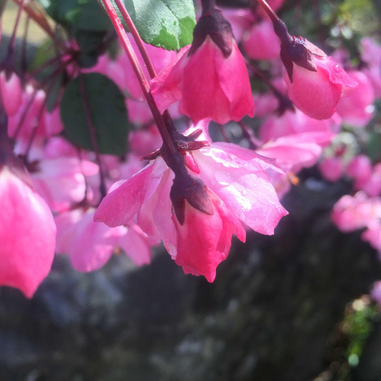 ハナカイドウ(花海棠)の花弁