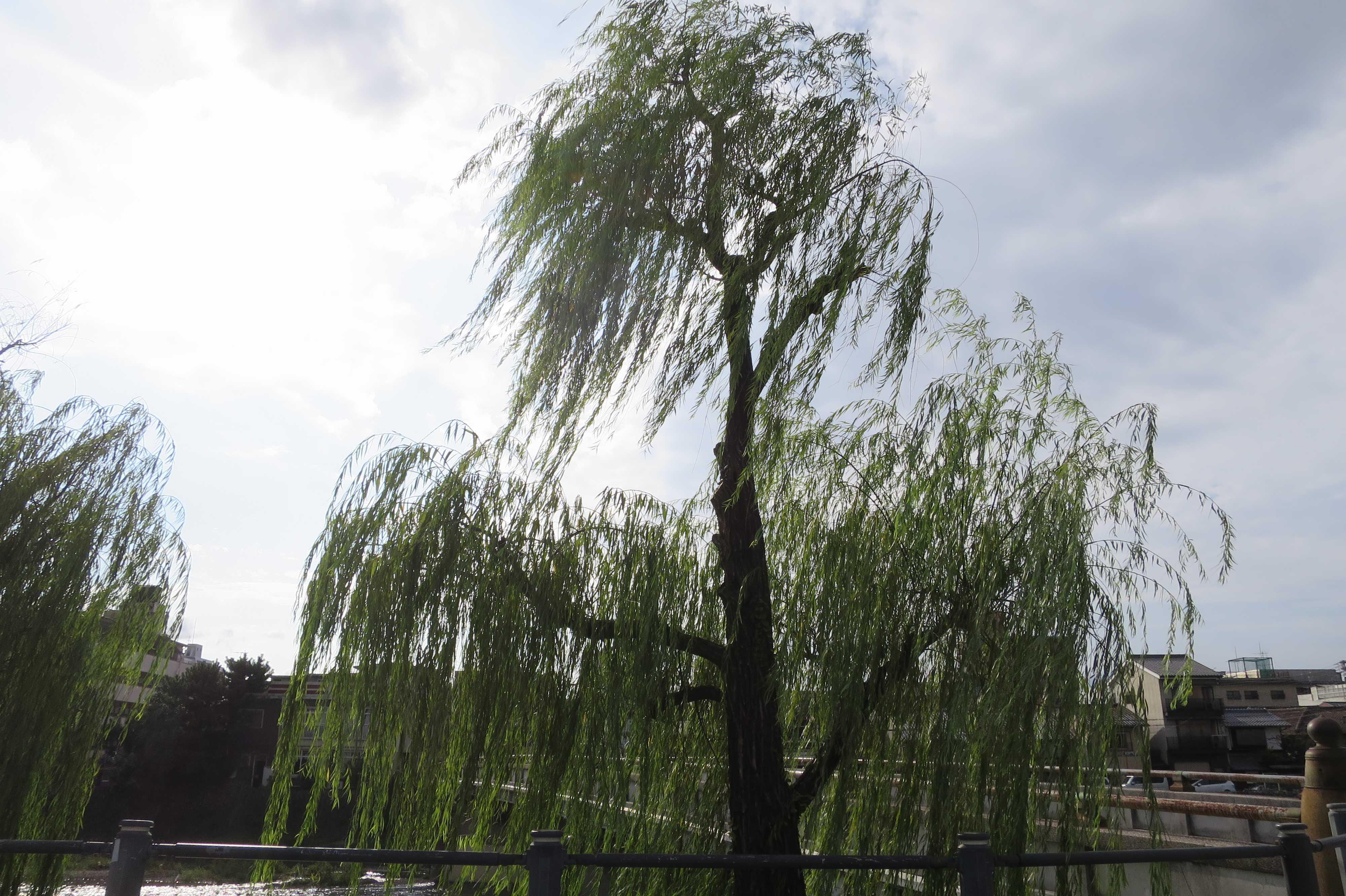 京都 - 正面橋たもとの柳の木