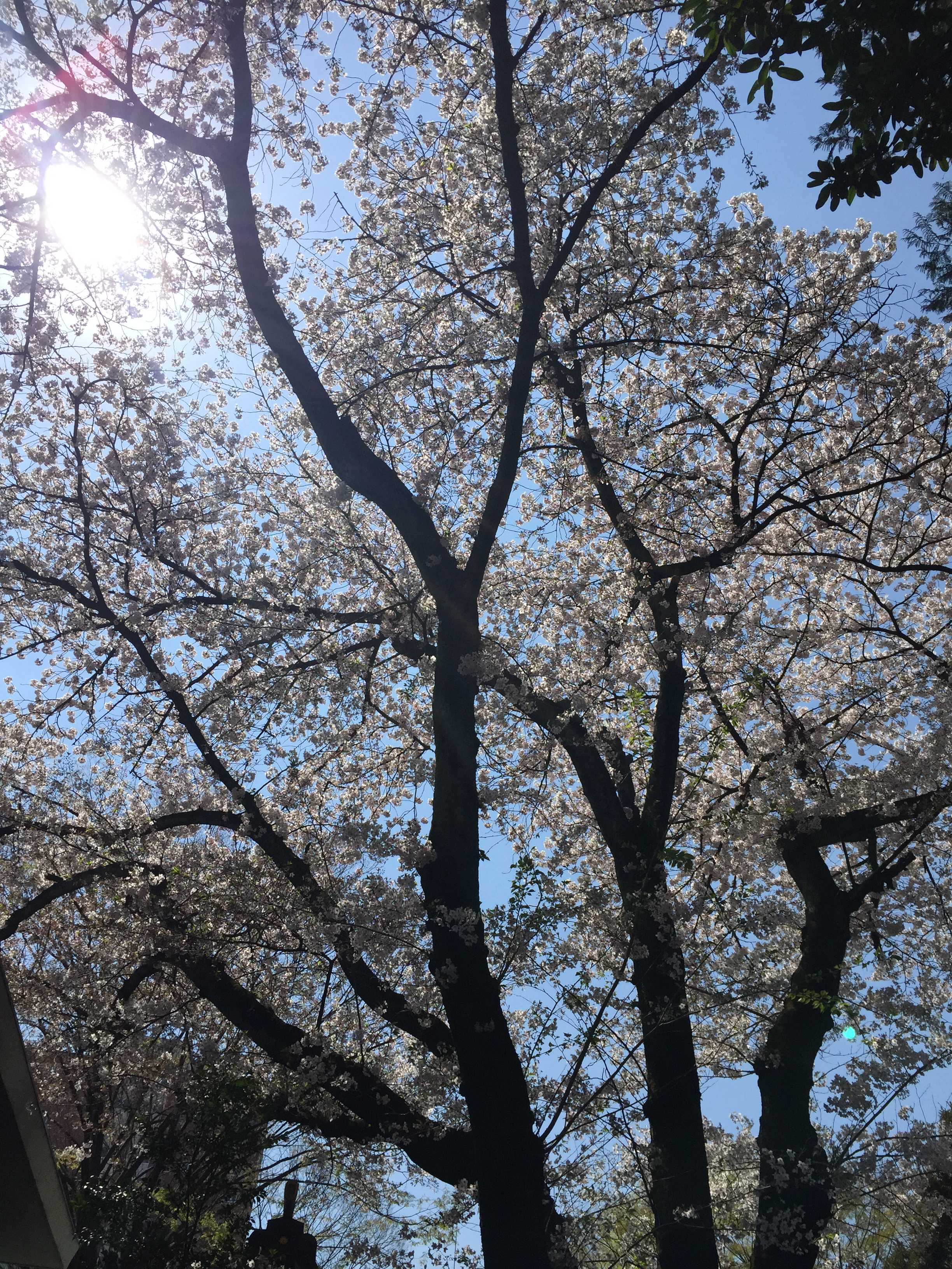 子安神社(東京・八王子)の桜の木の下