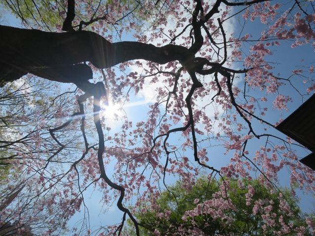 子安神社のさくら