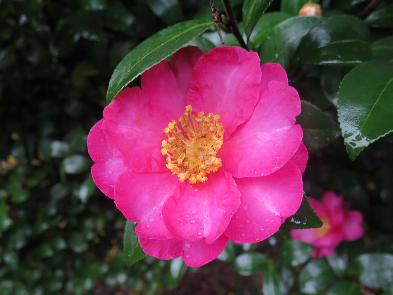 全生園 ピンクの花(さざんか)