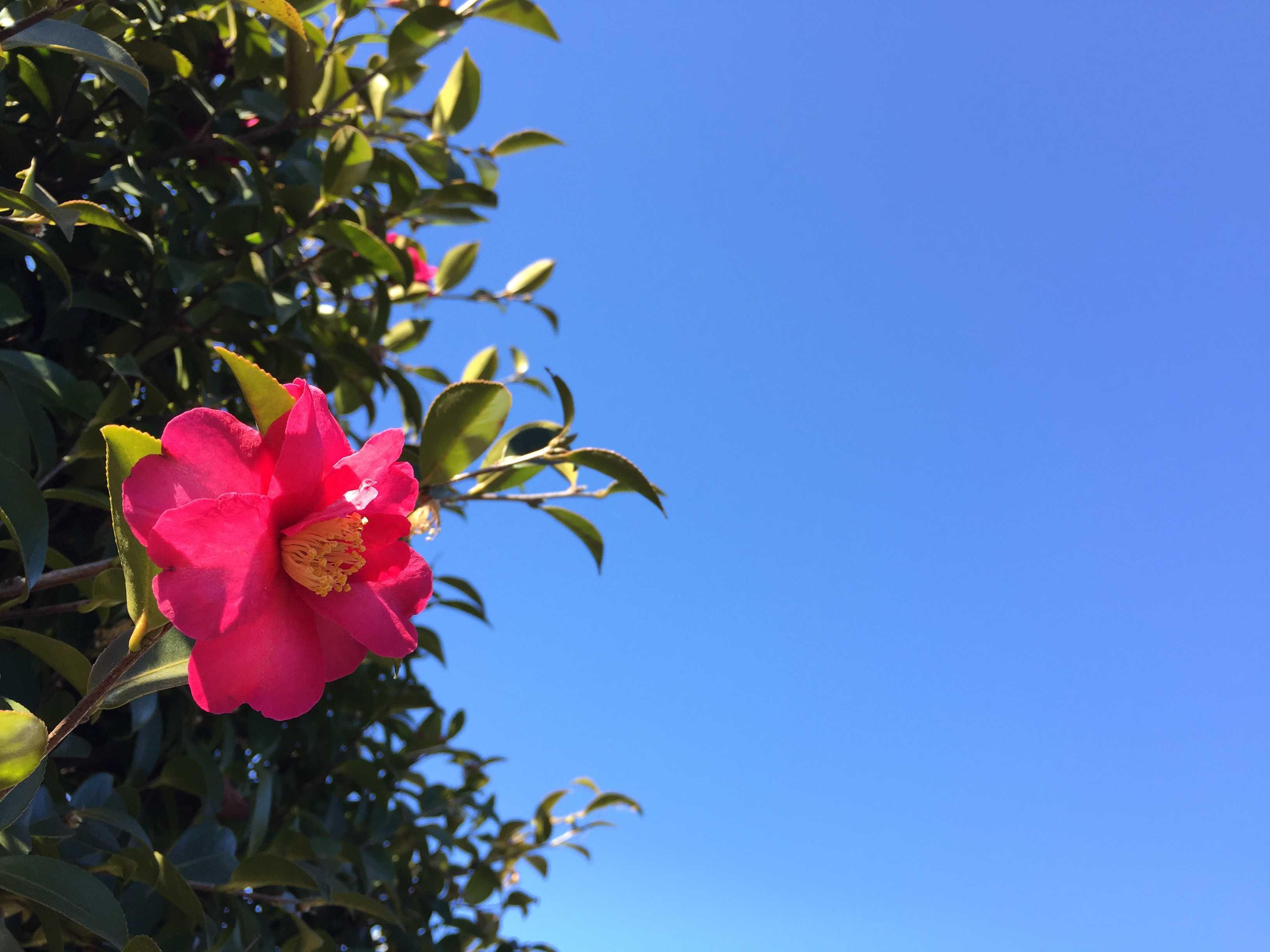 冬の花・さざんか