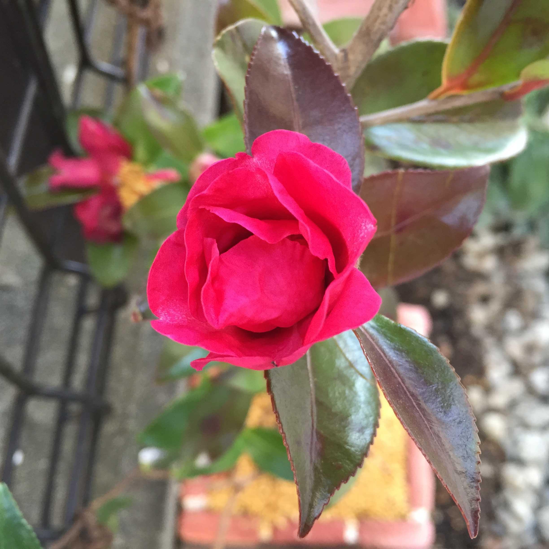 サザンカ(立ち寒椿/タチカンツバキ)の勘次郎の開花