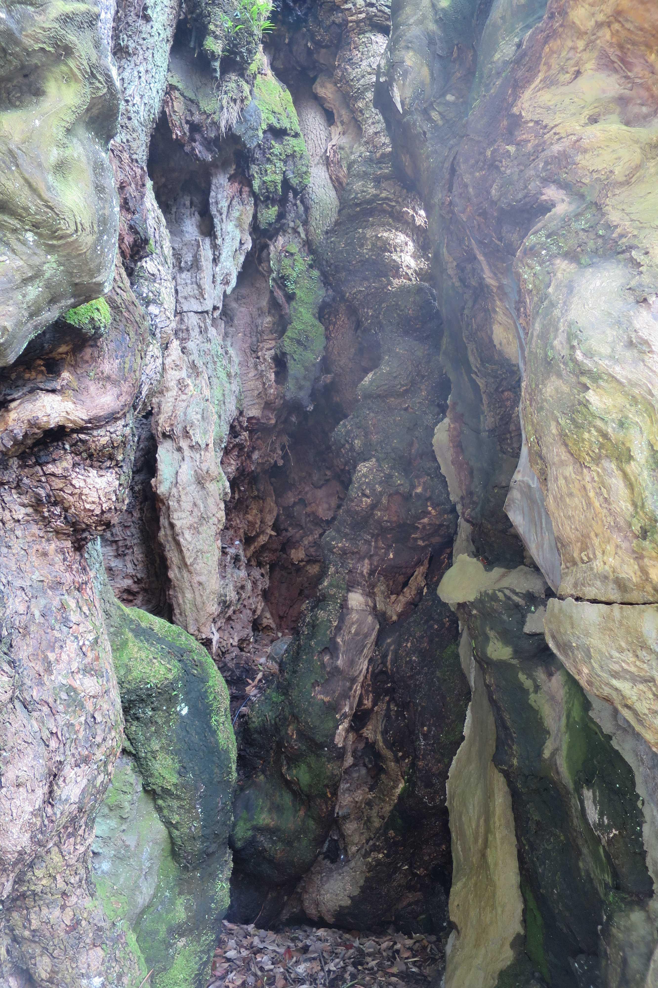 来宮神社の大楠の空洞