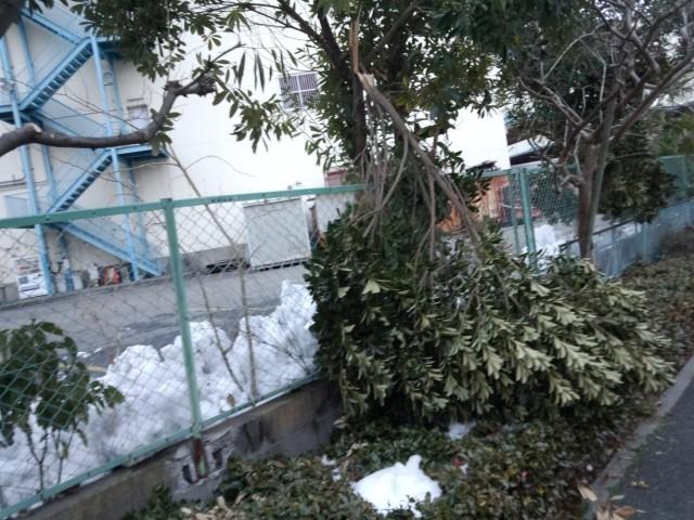 大雪で倒れた木