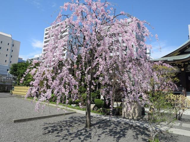 福傳寺 (福伝寺)のしだれ桜