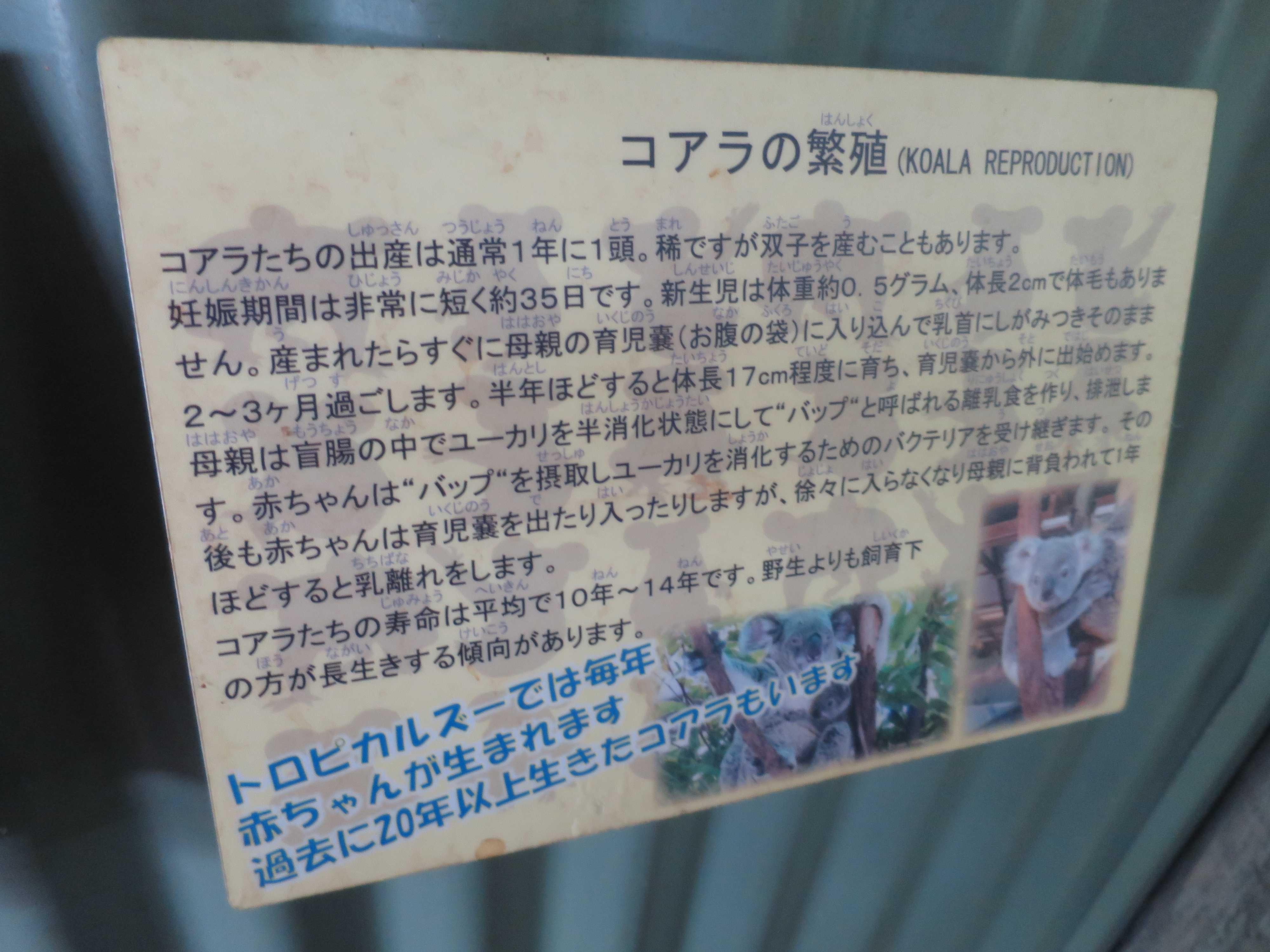 ケアンズ動物園 - コアラの繁殖(KOALA REPRODUCTION)