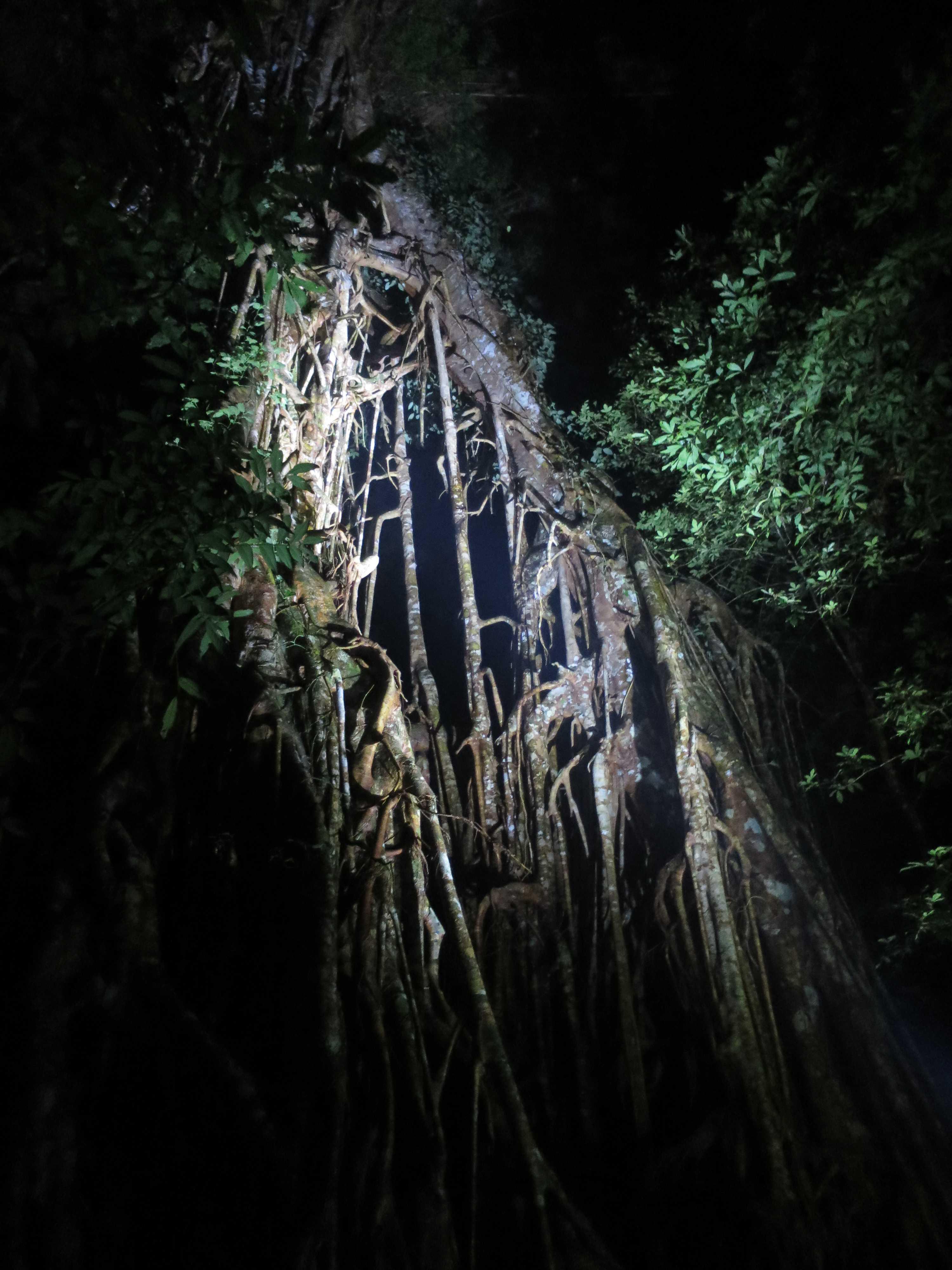 聖堂の樹は無花果(イチジク/いちじく)の樹です。