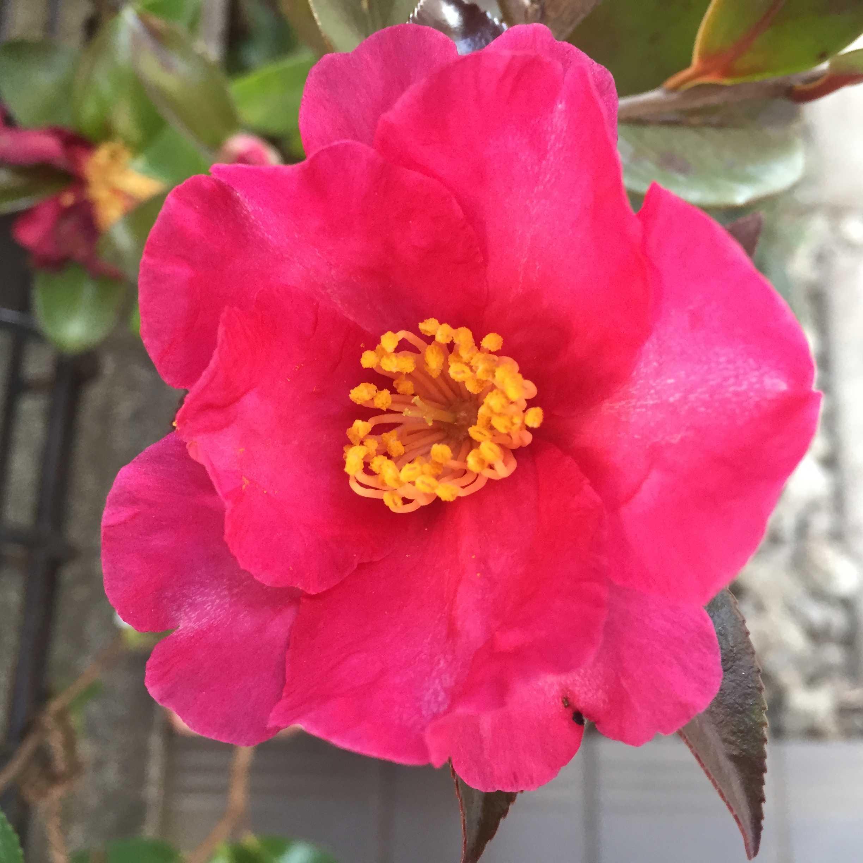 サザンカ(立ち寒椿/タチカンツバキ)の勘次郎の花開く