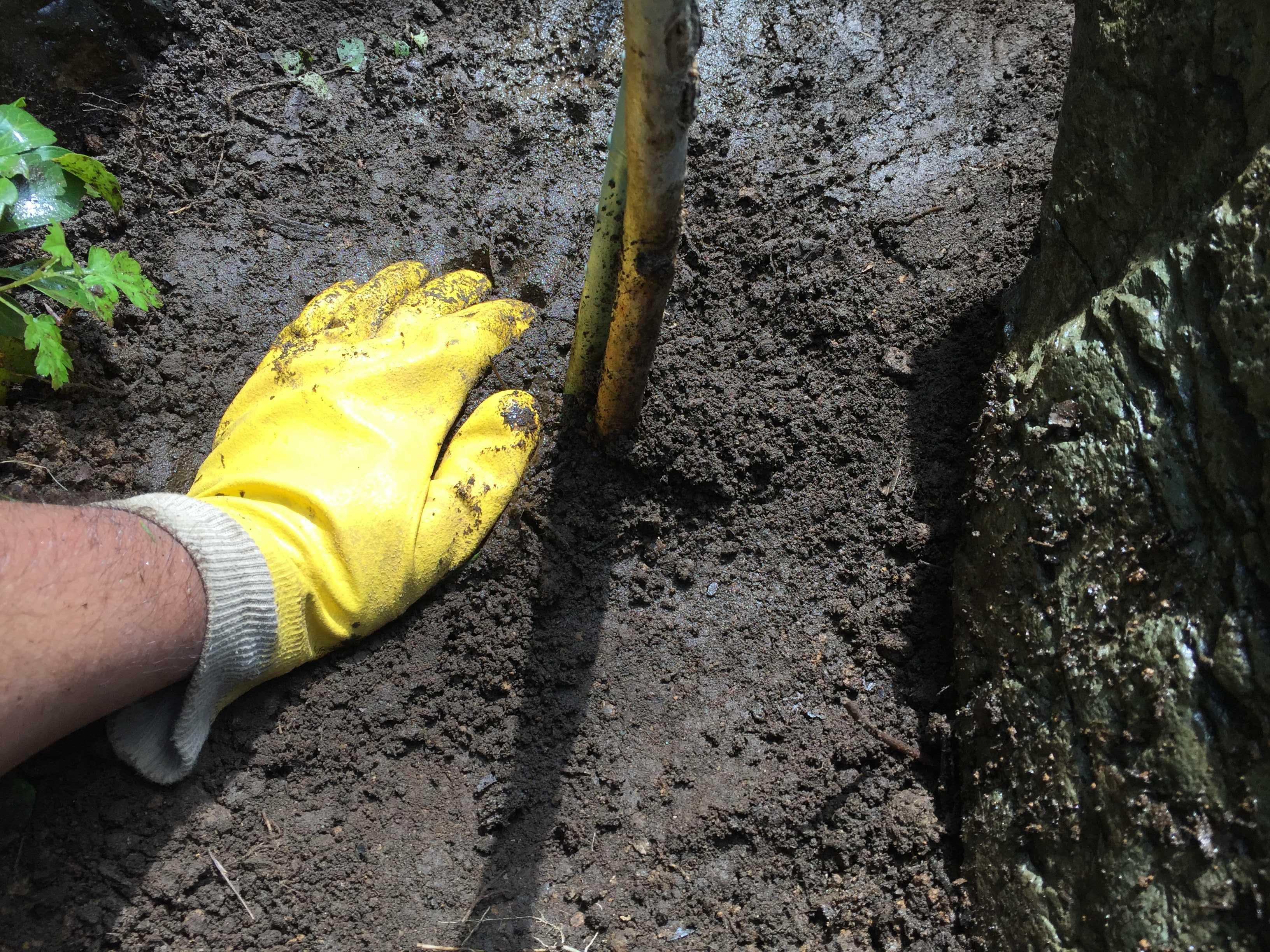 植え付けたサルスベリ「夏祭り」の固定