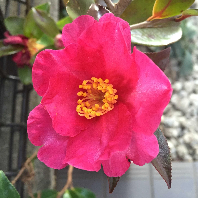 サザンカ(立ち寒椿/タチカンツバキ)の勘次郎の花咲く