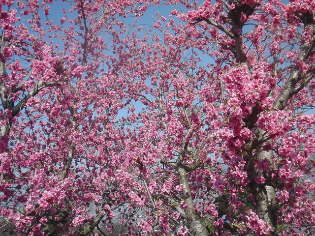 咲き乱れる桃の花 - 釈迦堂パーキングエリア近くの桃園