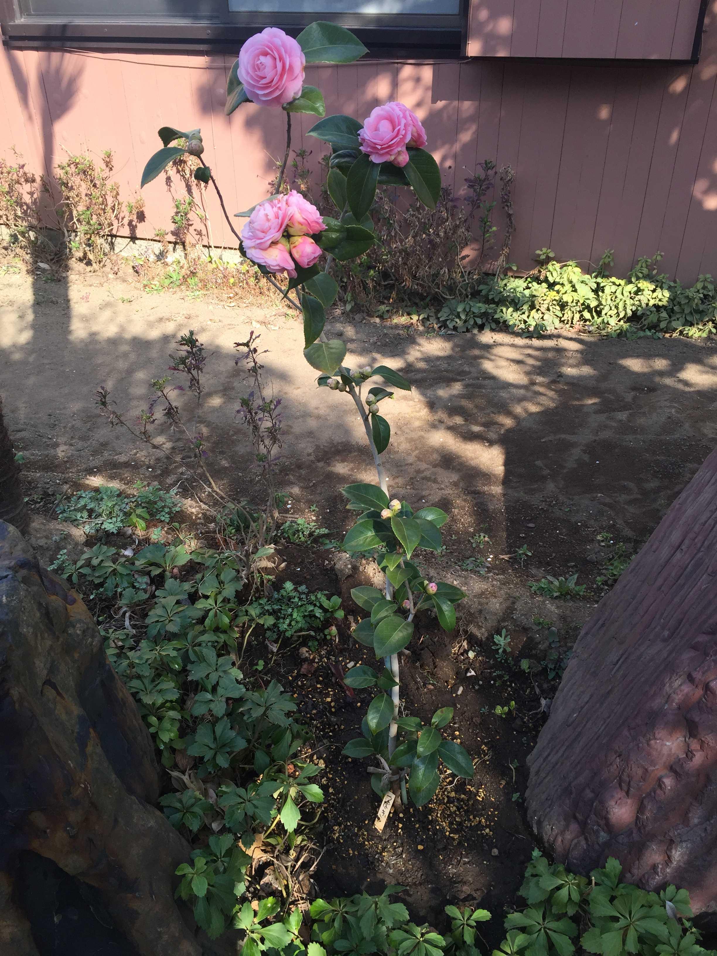 乙女椿(オトメツバキ)の木