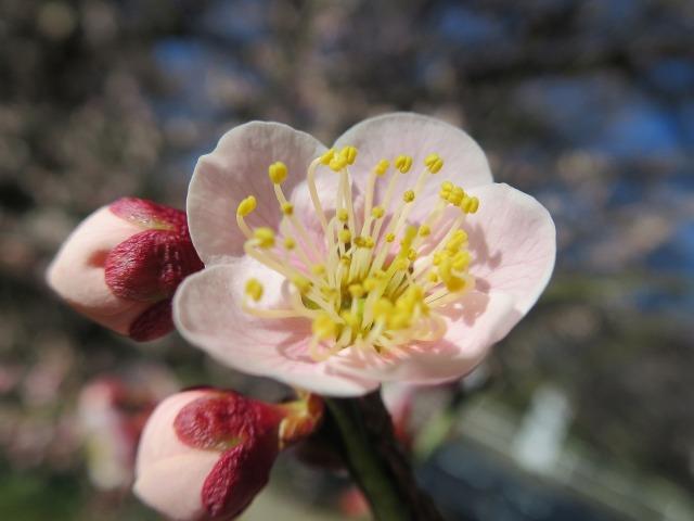 梅のおしべ、花粉