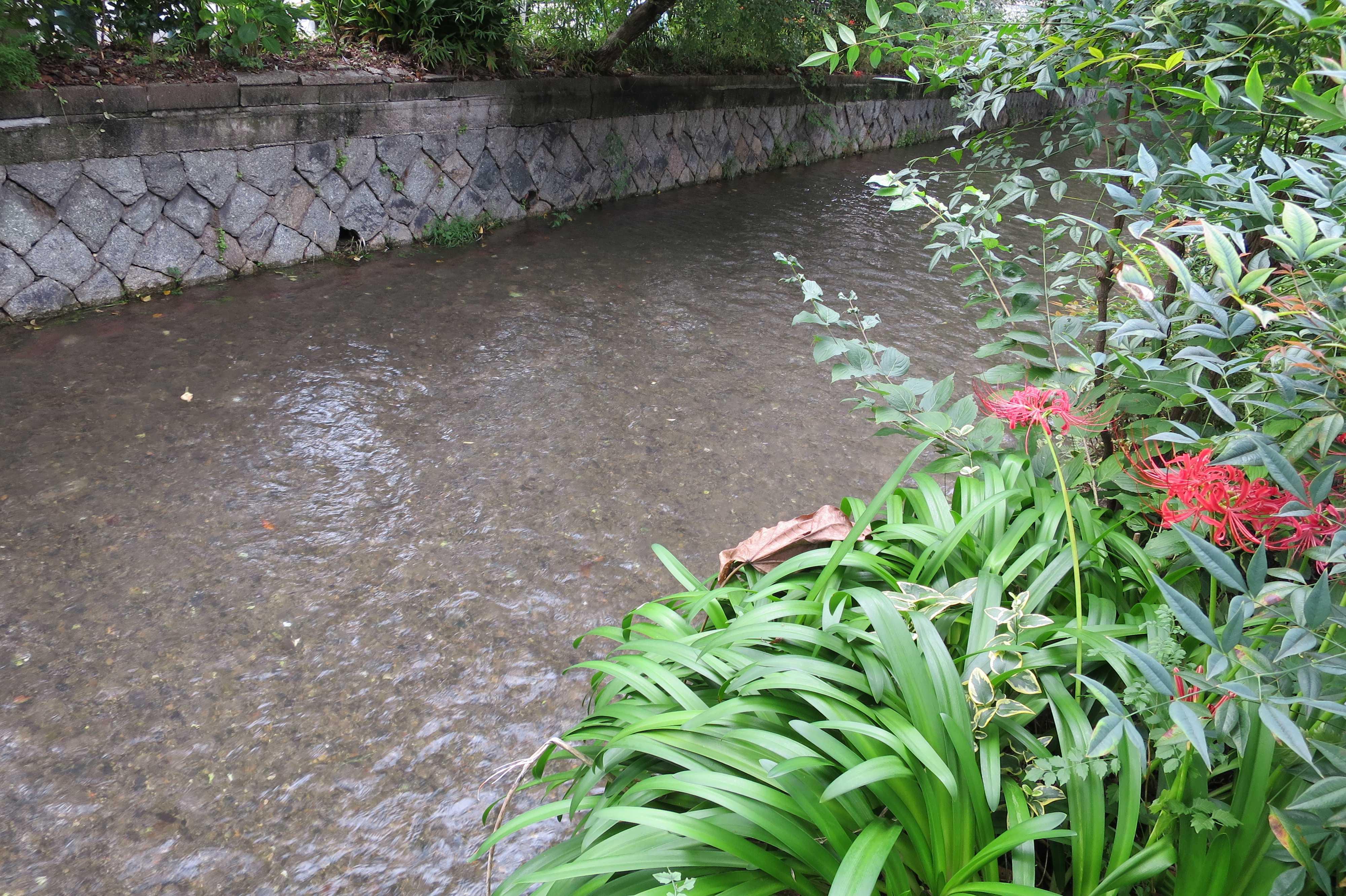 京都・五条 - 高瀬川と赤い彼岸花(ヒガンバナ)/ 曼珠沙華(マンジュシャゲ)