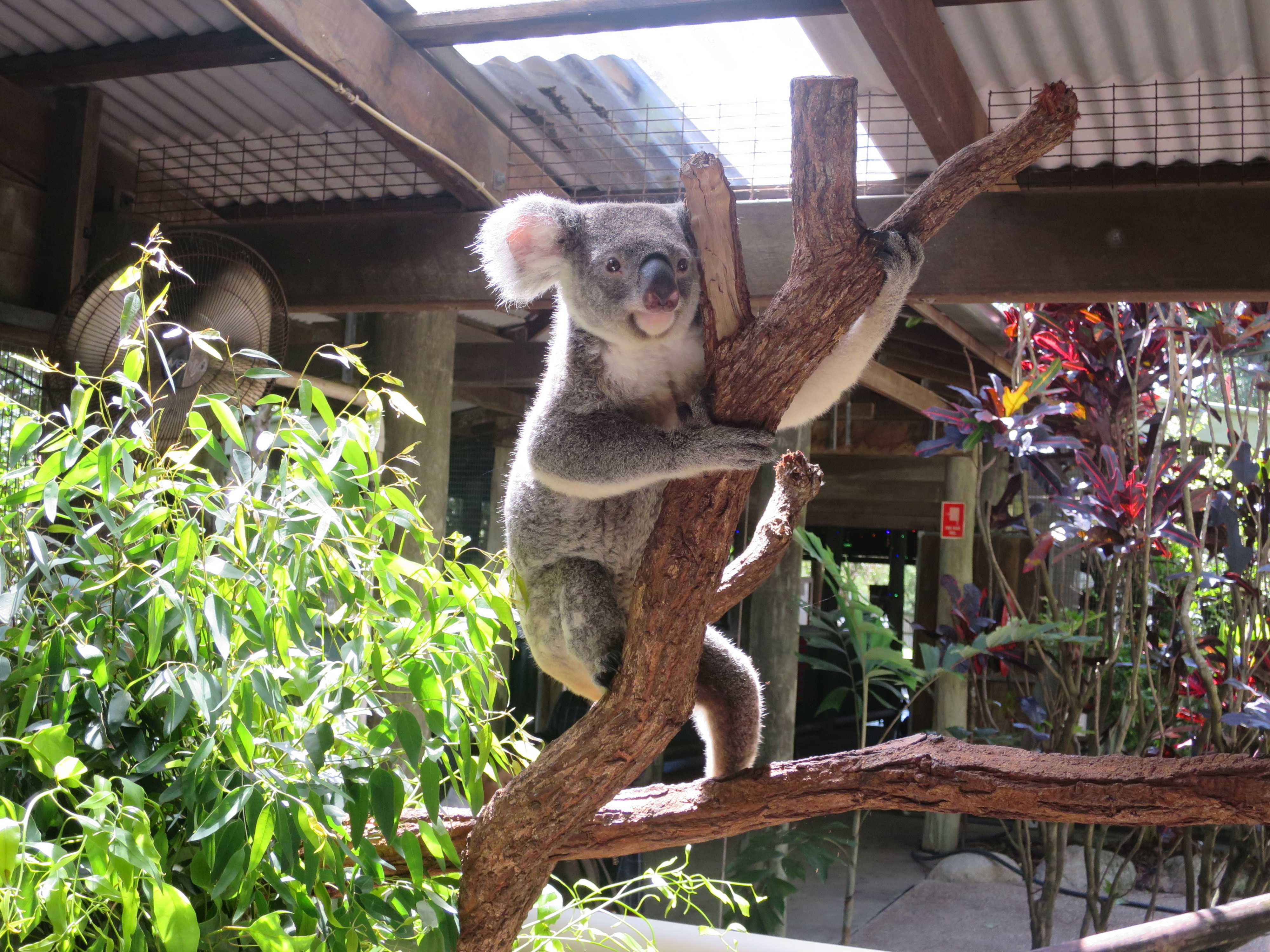 ケアンズトロピカルズー - まん丸なコアラの瞳