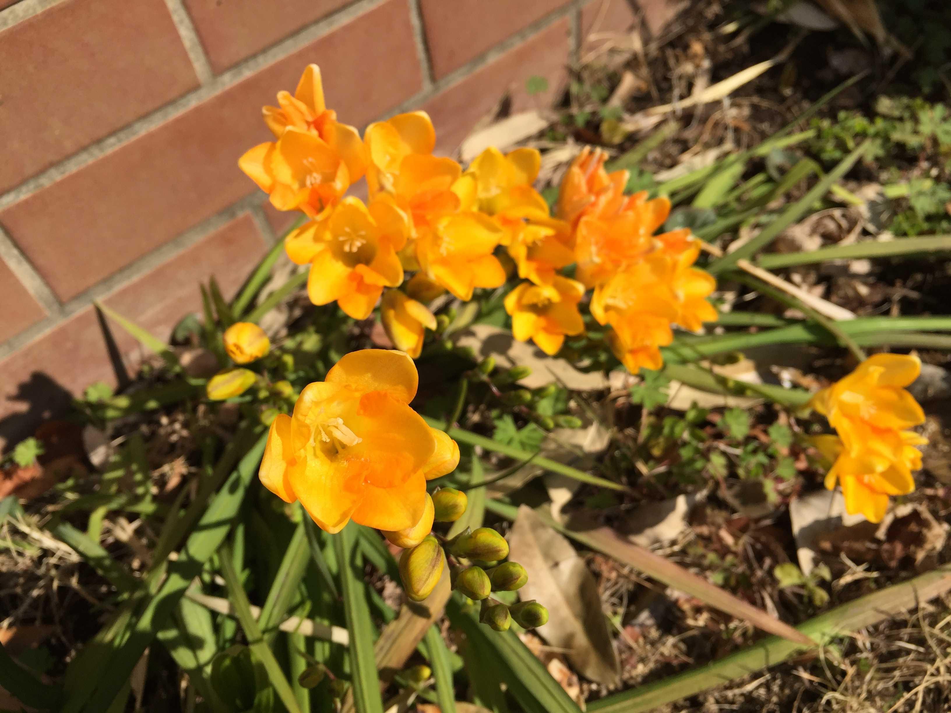 オレンジ色に咲くフリージア