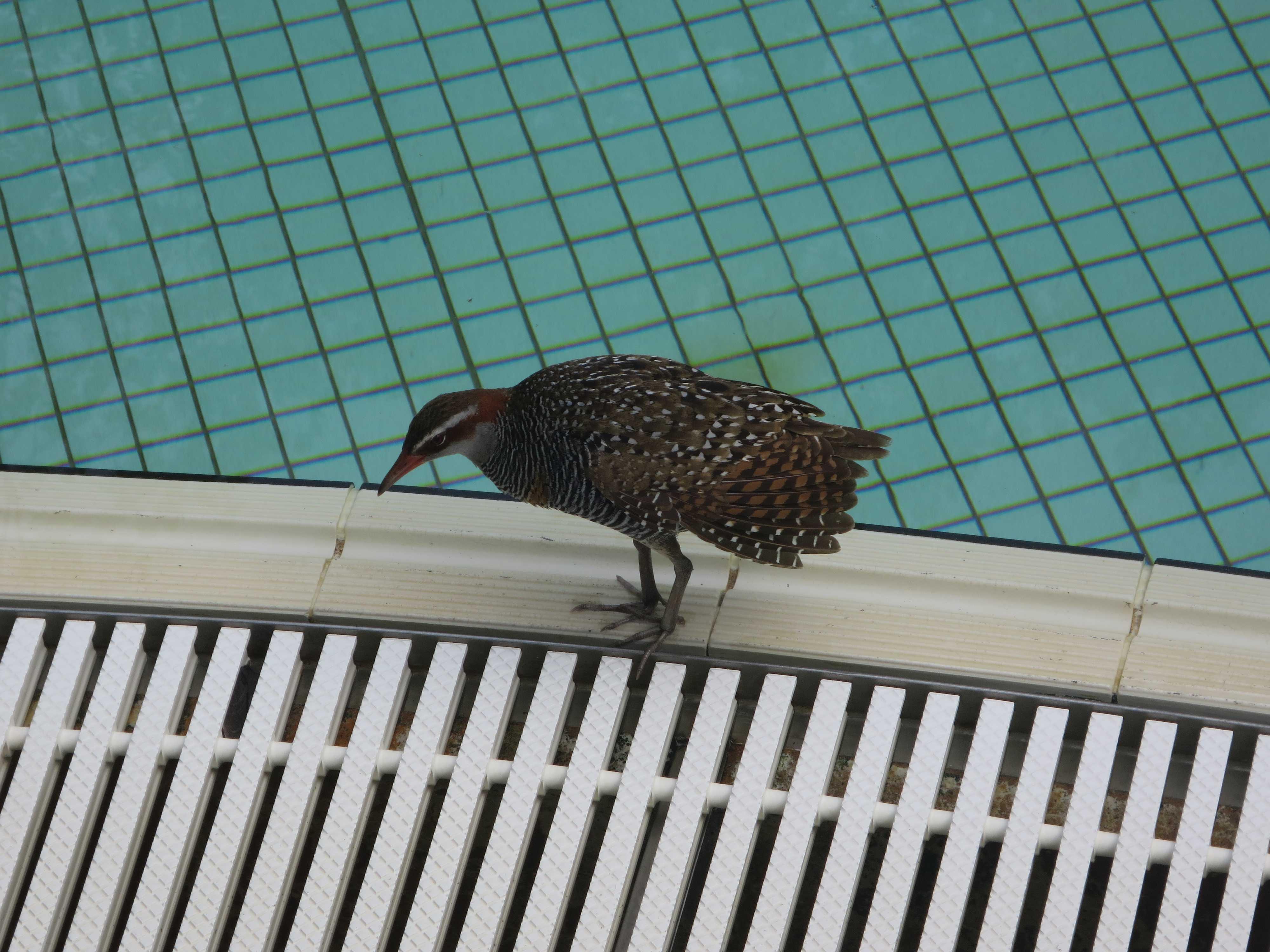 グリーン島 鳥(ナンヨウクイナ)