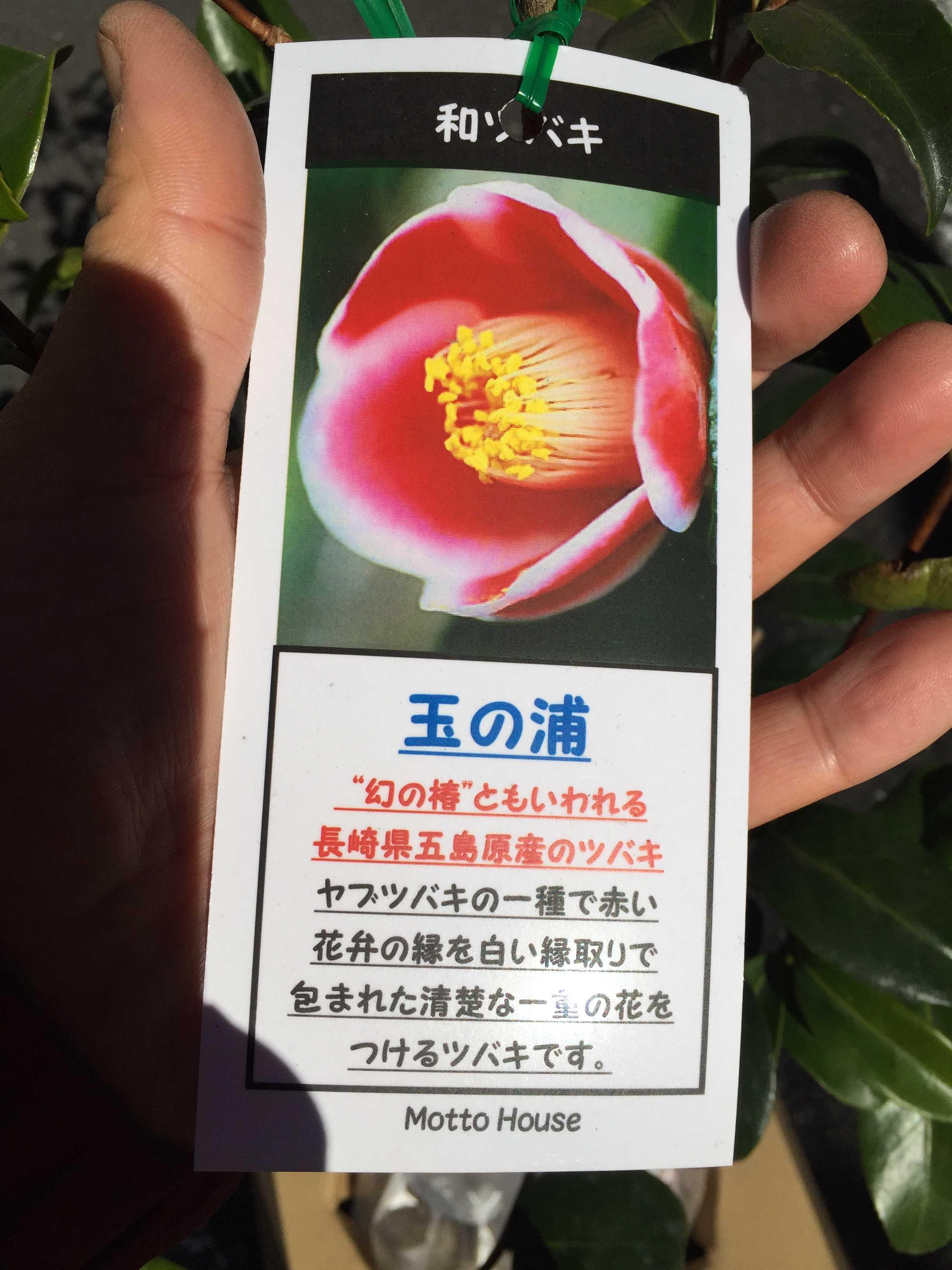 玉之浦椿 - Camellia japonica 'Tama-no-ura' の写真