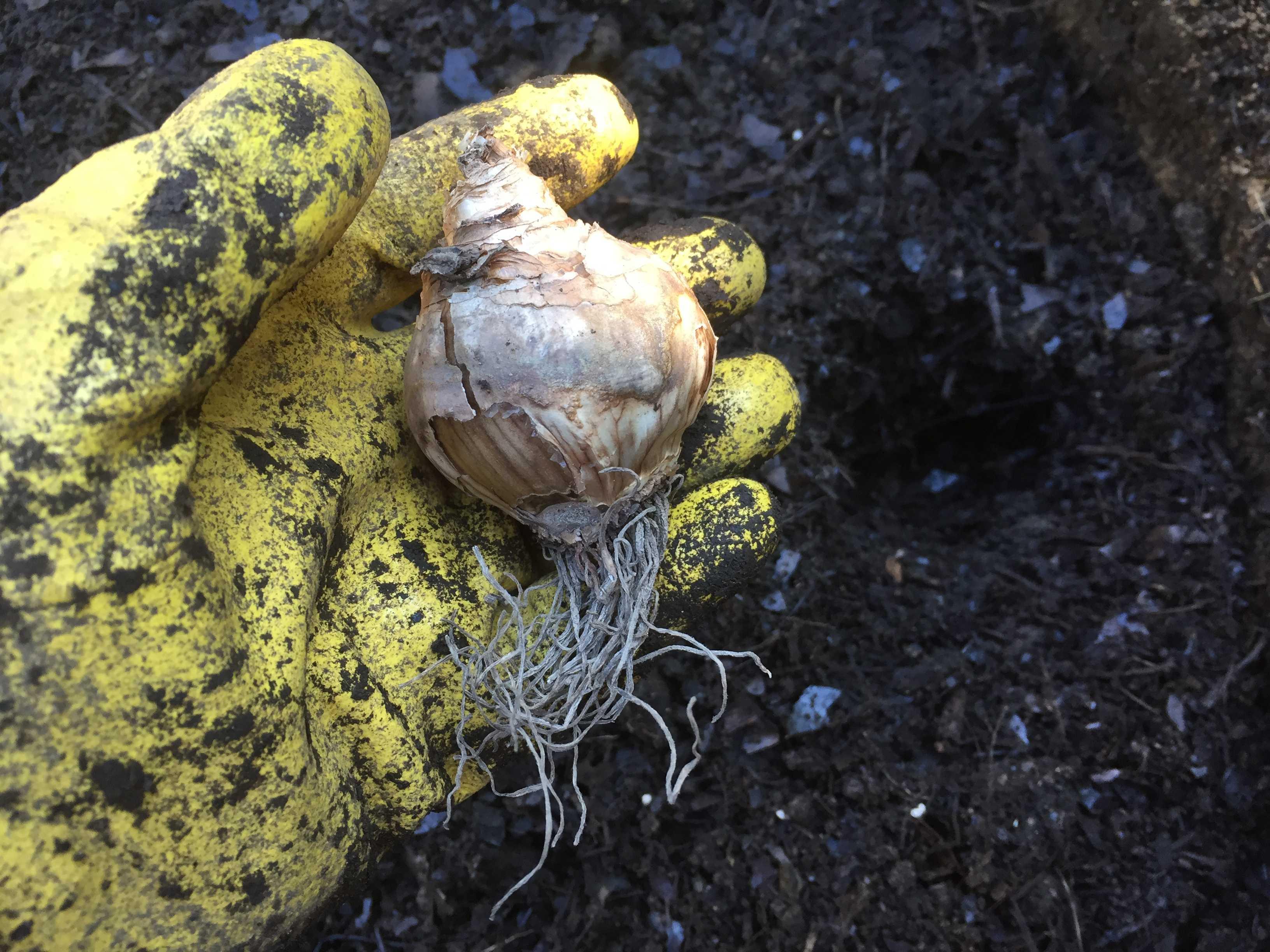 水仙(デリベス)の球根の植え方
