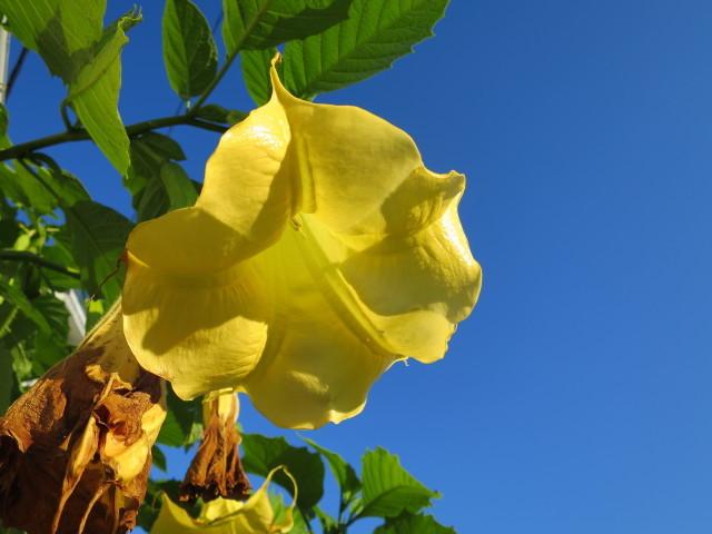 エンジェルトランペットの黄色い花