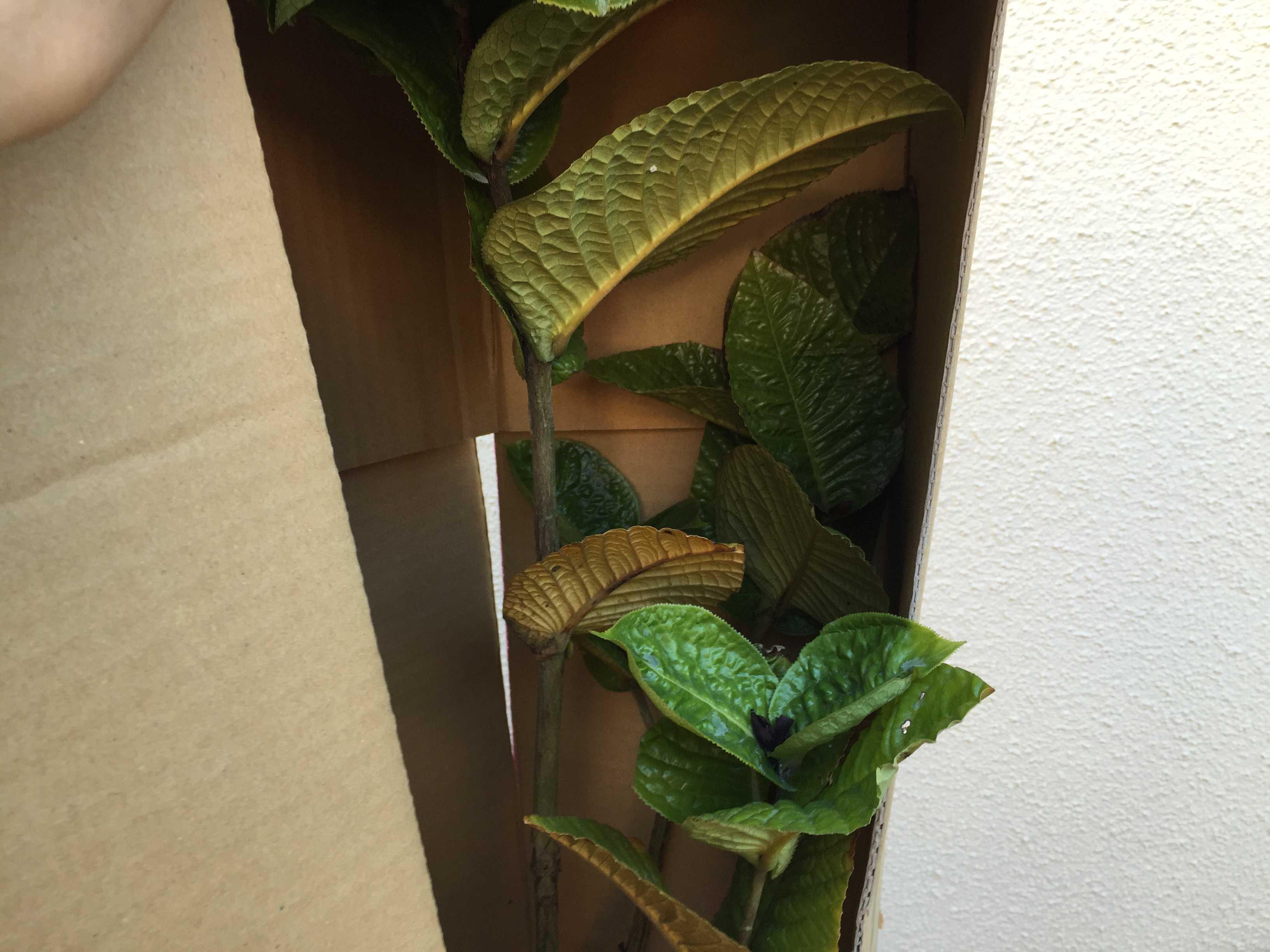 ベトナムの原種椿「ムラウチイ」