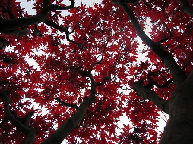 真っ赤なもみじの枝