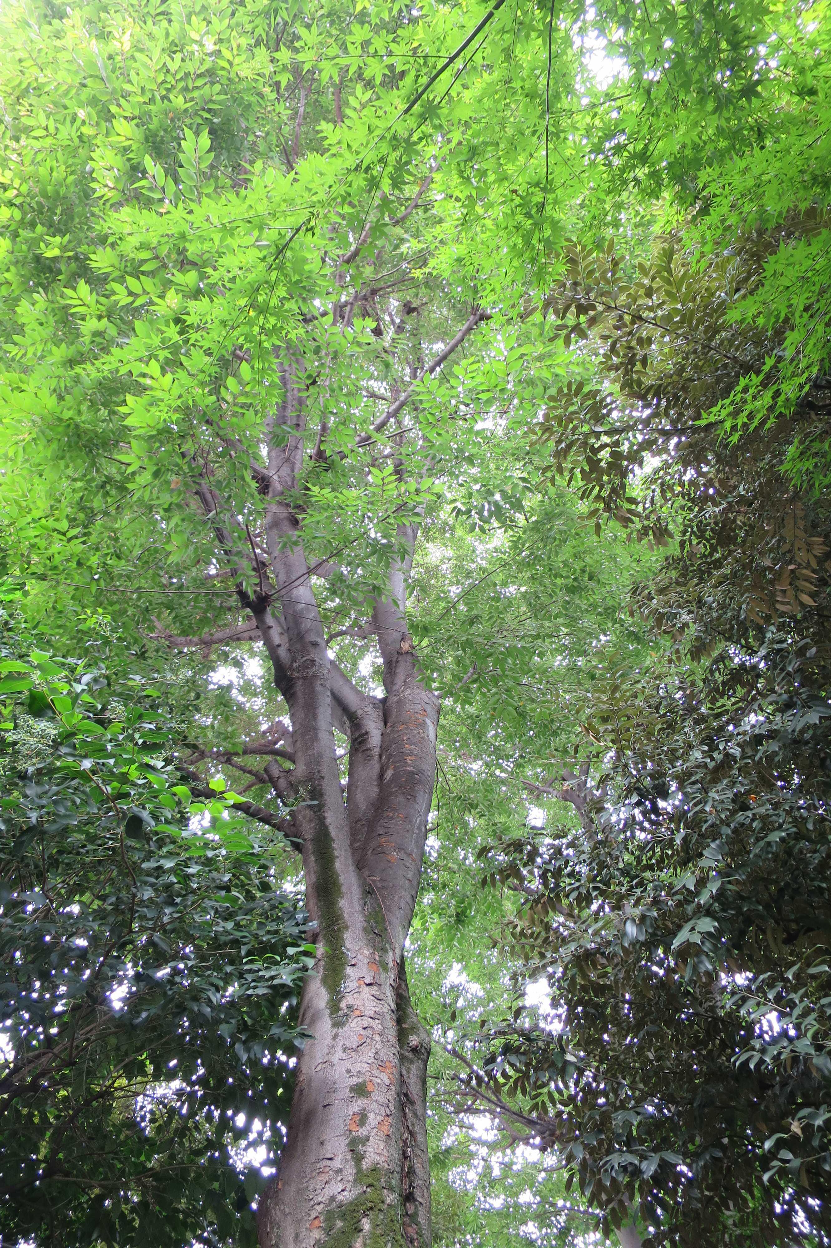弁財天(上神明天祖神社)の森