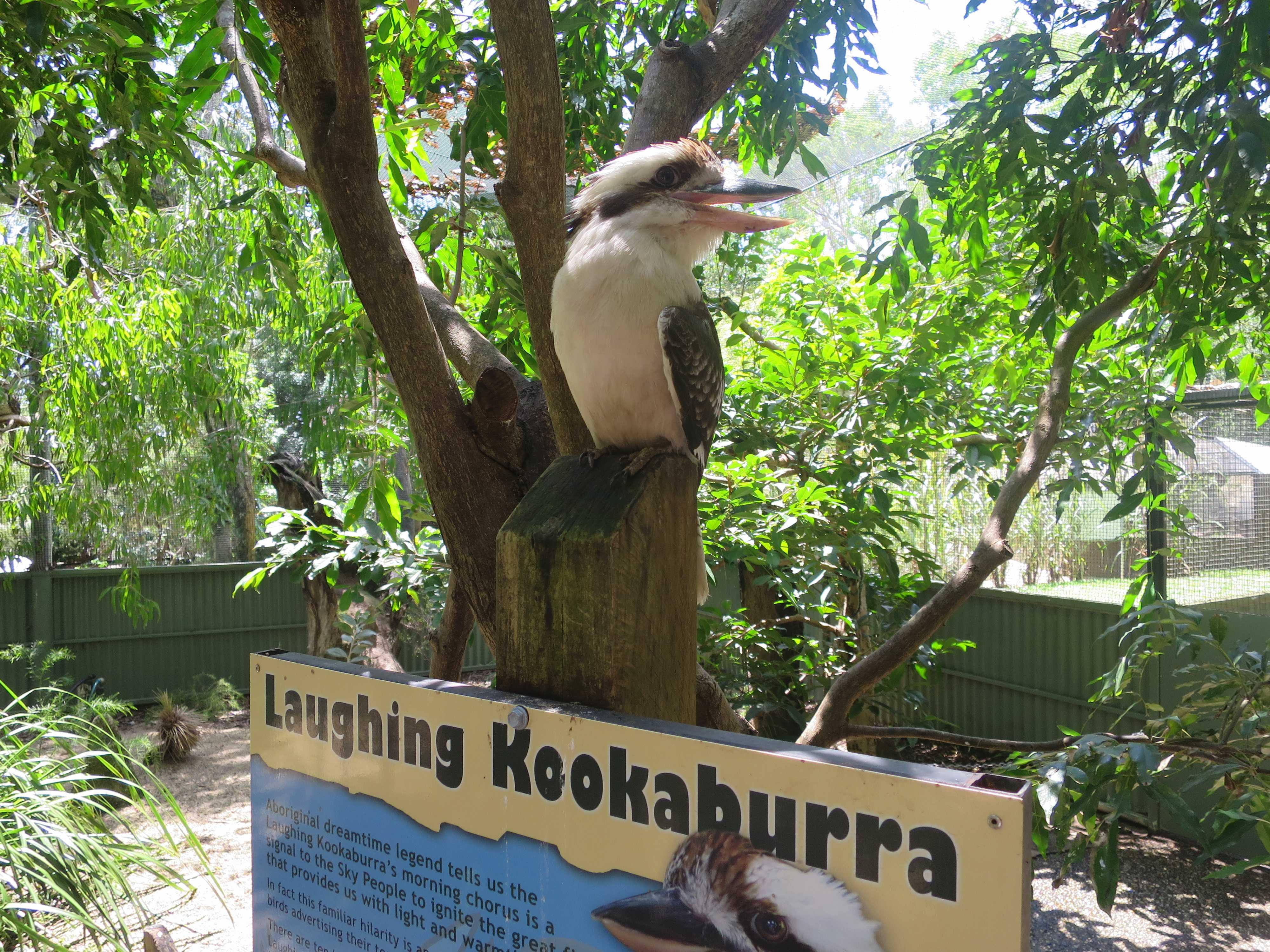 ケアンズトロピカルズー - ワライカワセミ(Laughing Kookaburra)