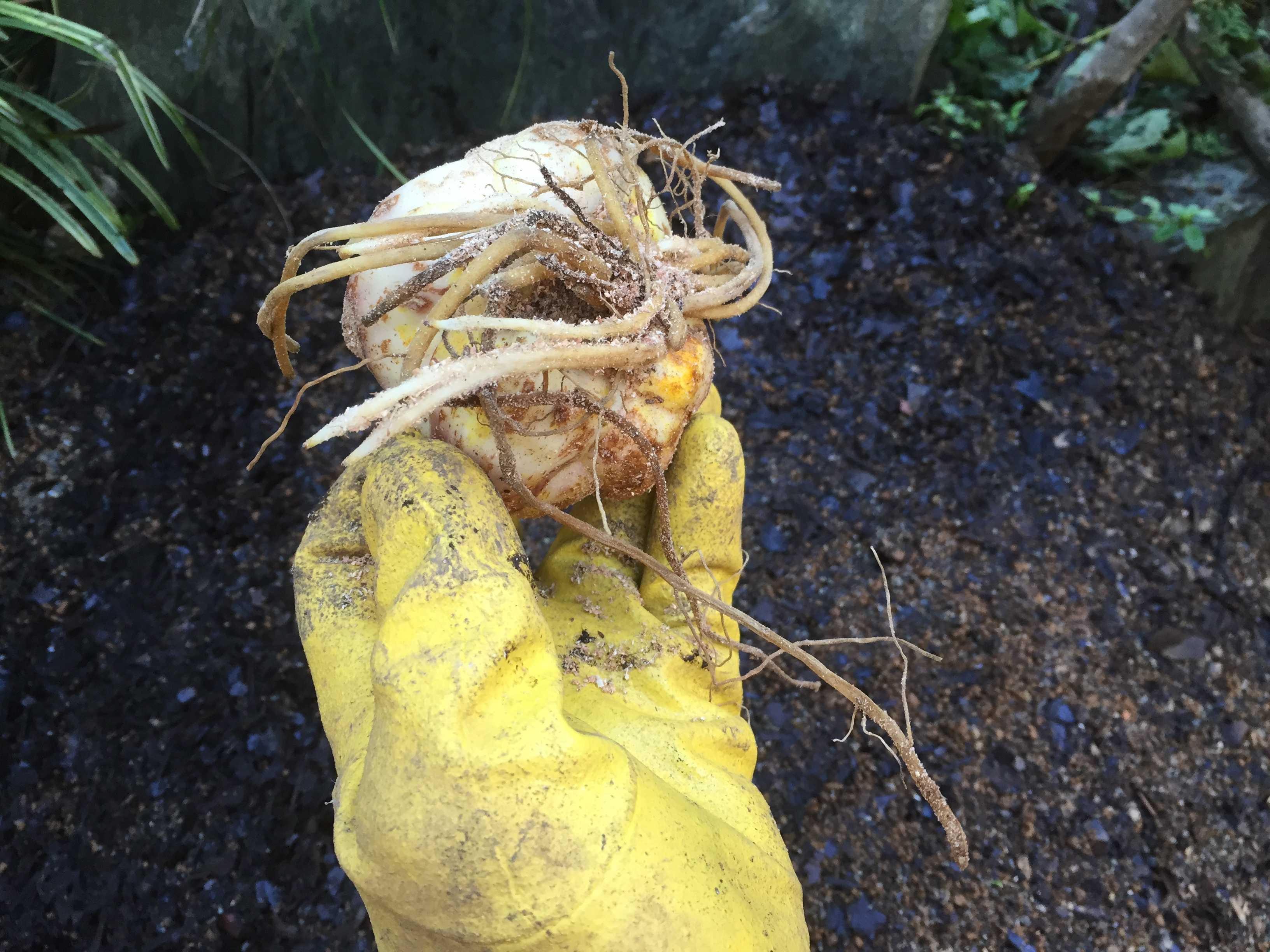 ヤマユリの球根植え付け - 特大球の球根の下根
