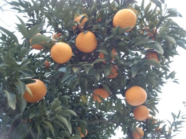 オレンジ色の果実