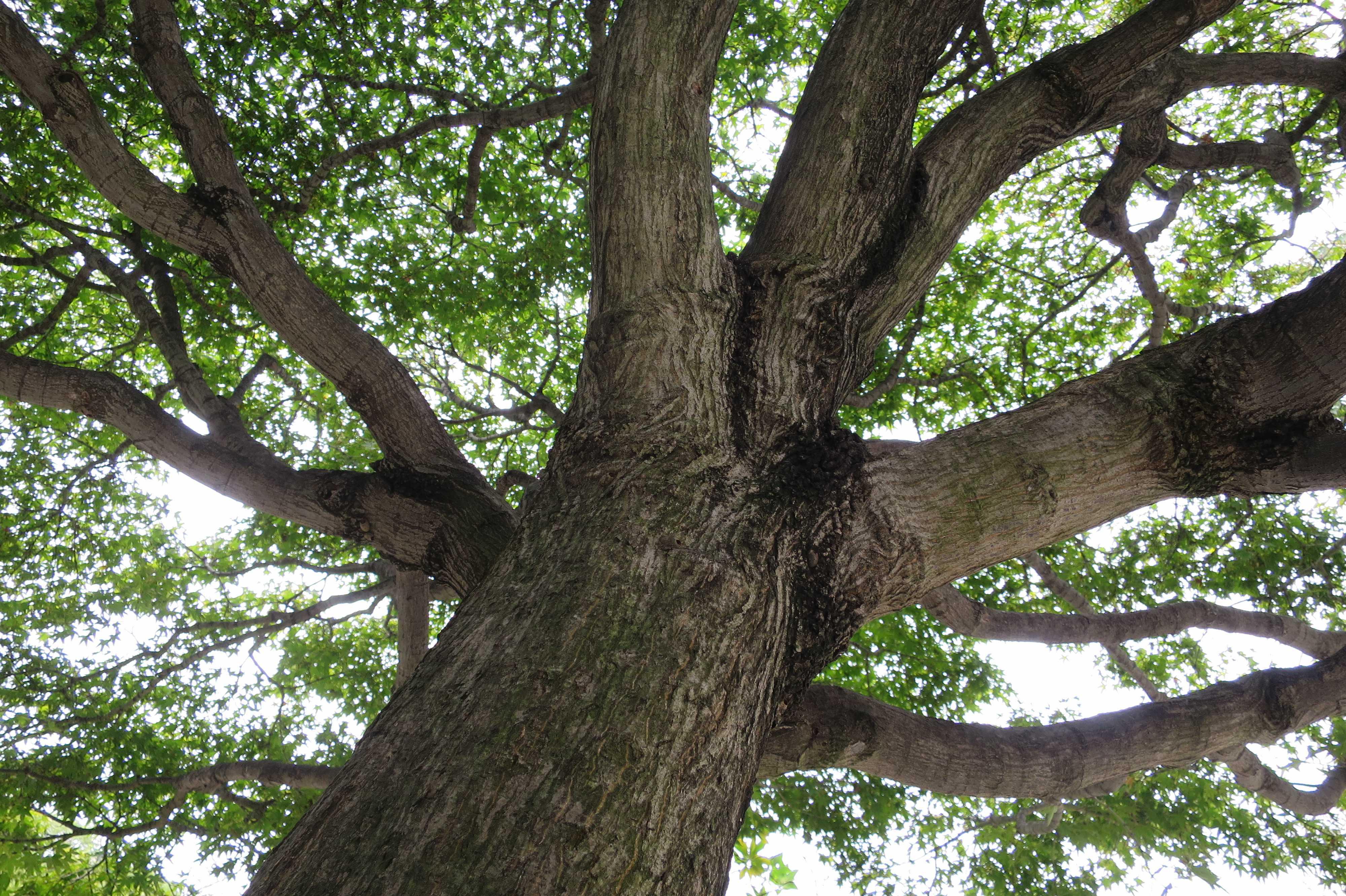 愛染さんのもみじの木の幹