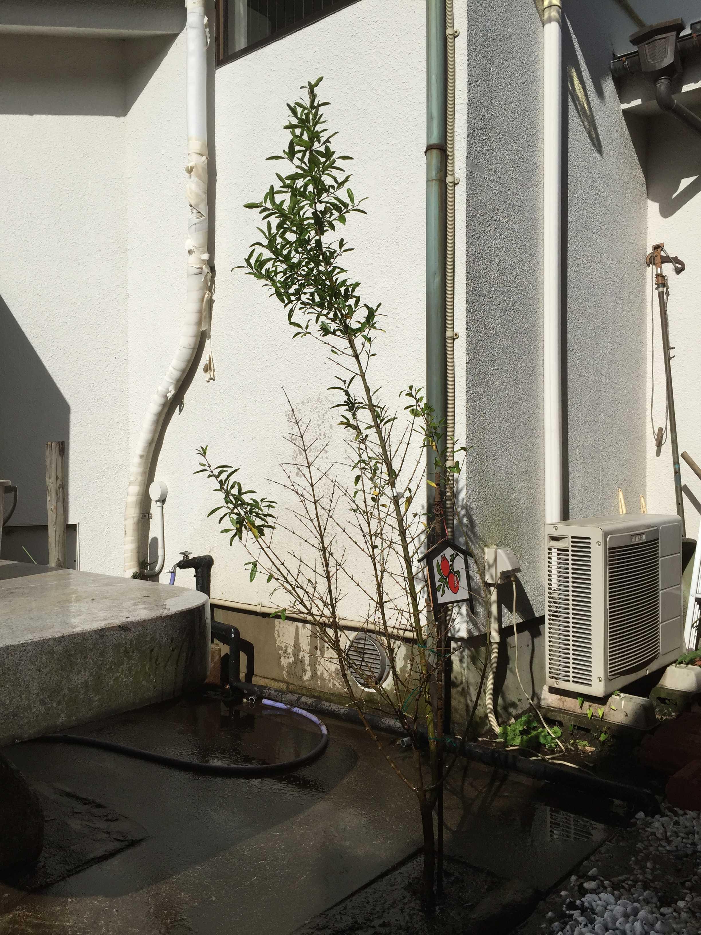 午前中、陽を浴びるザクロの木