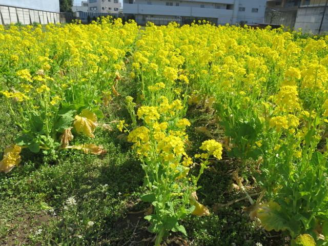 真っ黄色な菜の花畑