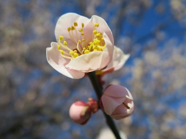 梅の花びらと先っぽの黄色い花粉