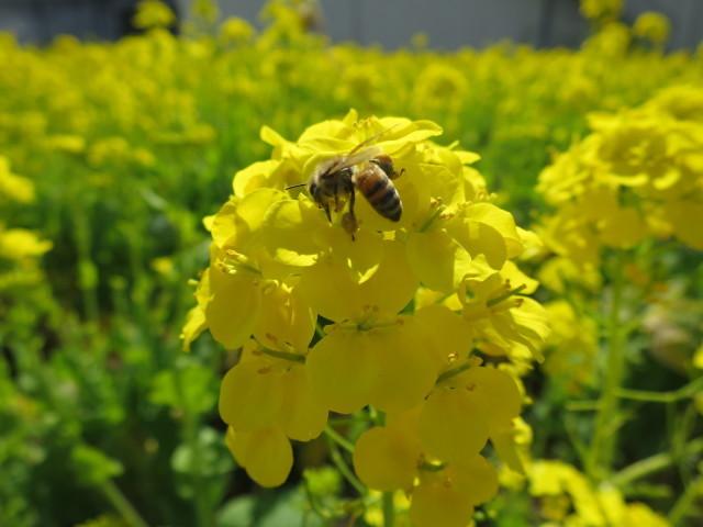 菜の花の蜜を吸う蜜蜂
