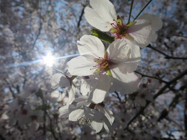 浅川土手の桜の花びら
