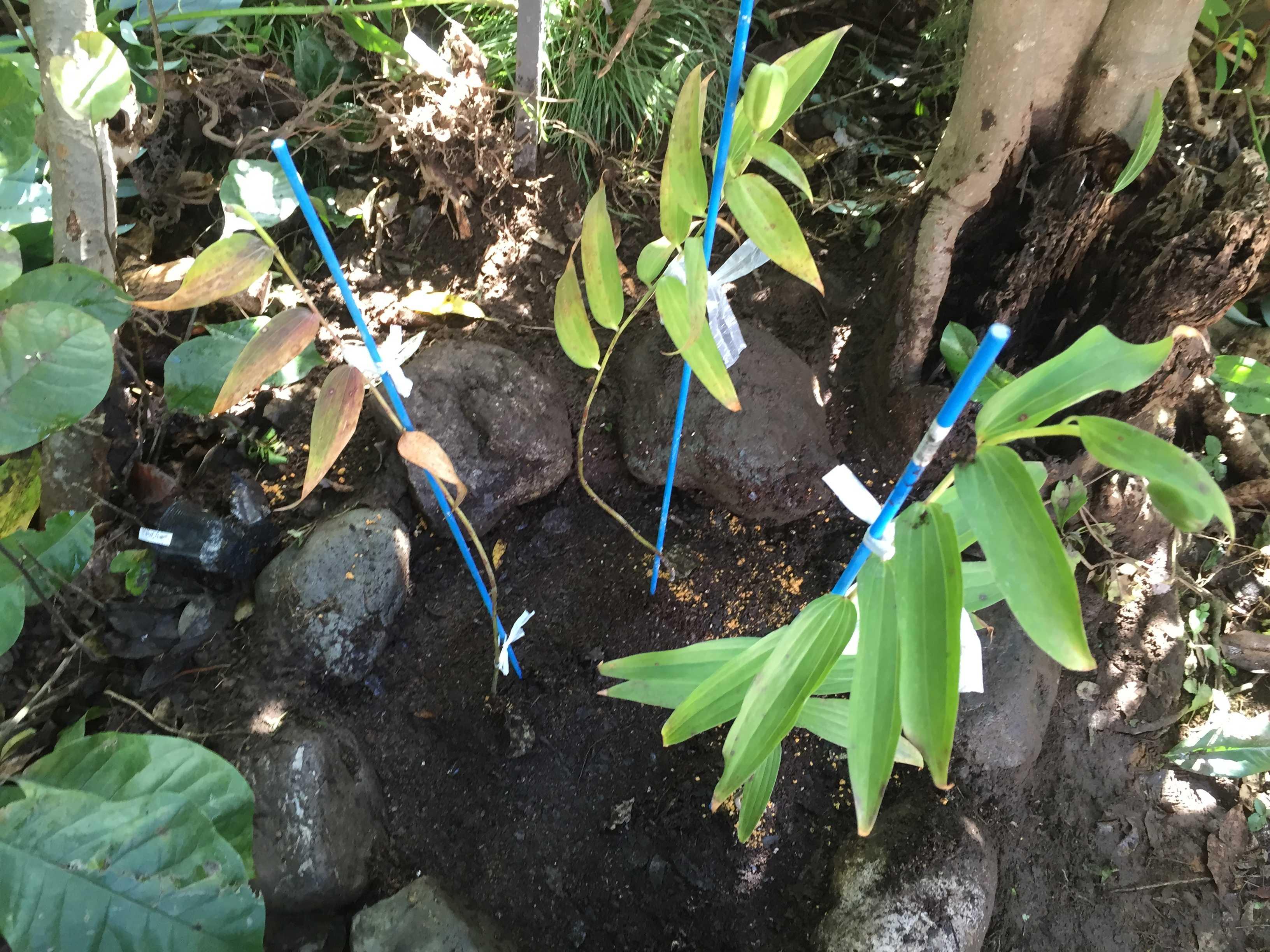 ヤマユリ庭植え - 植え付け完了