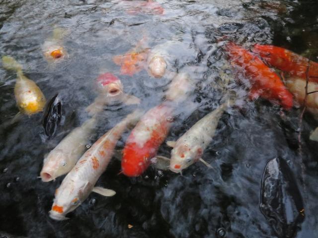 愛宕神社の池の鯉