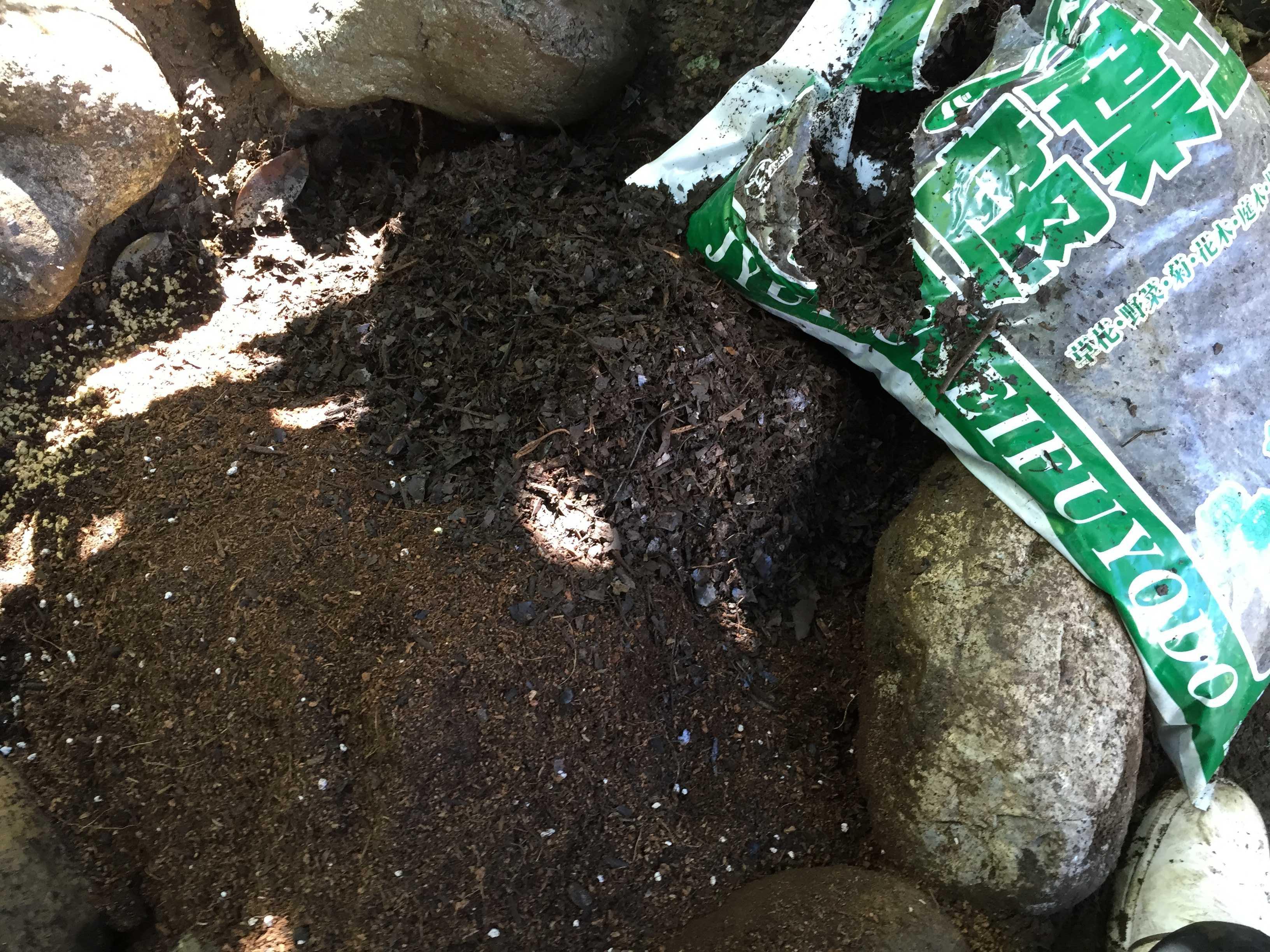 ヤマユリ庭植え - 腐葉土