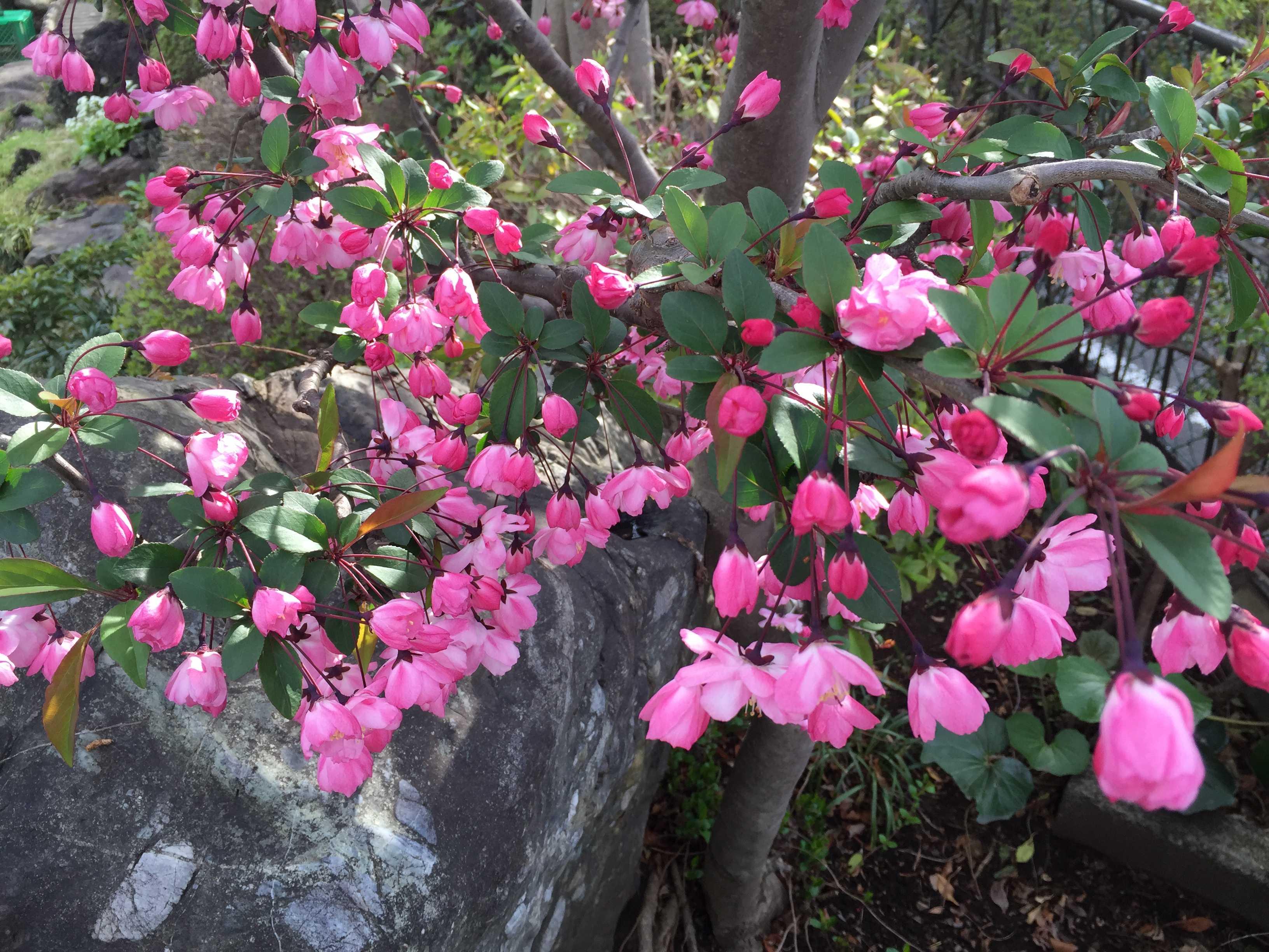 ハナカイドウ(花海棠)の花びら