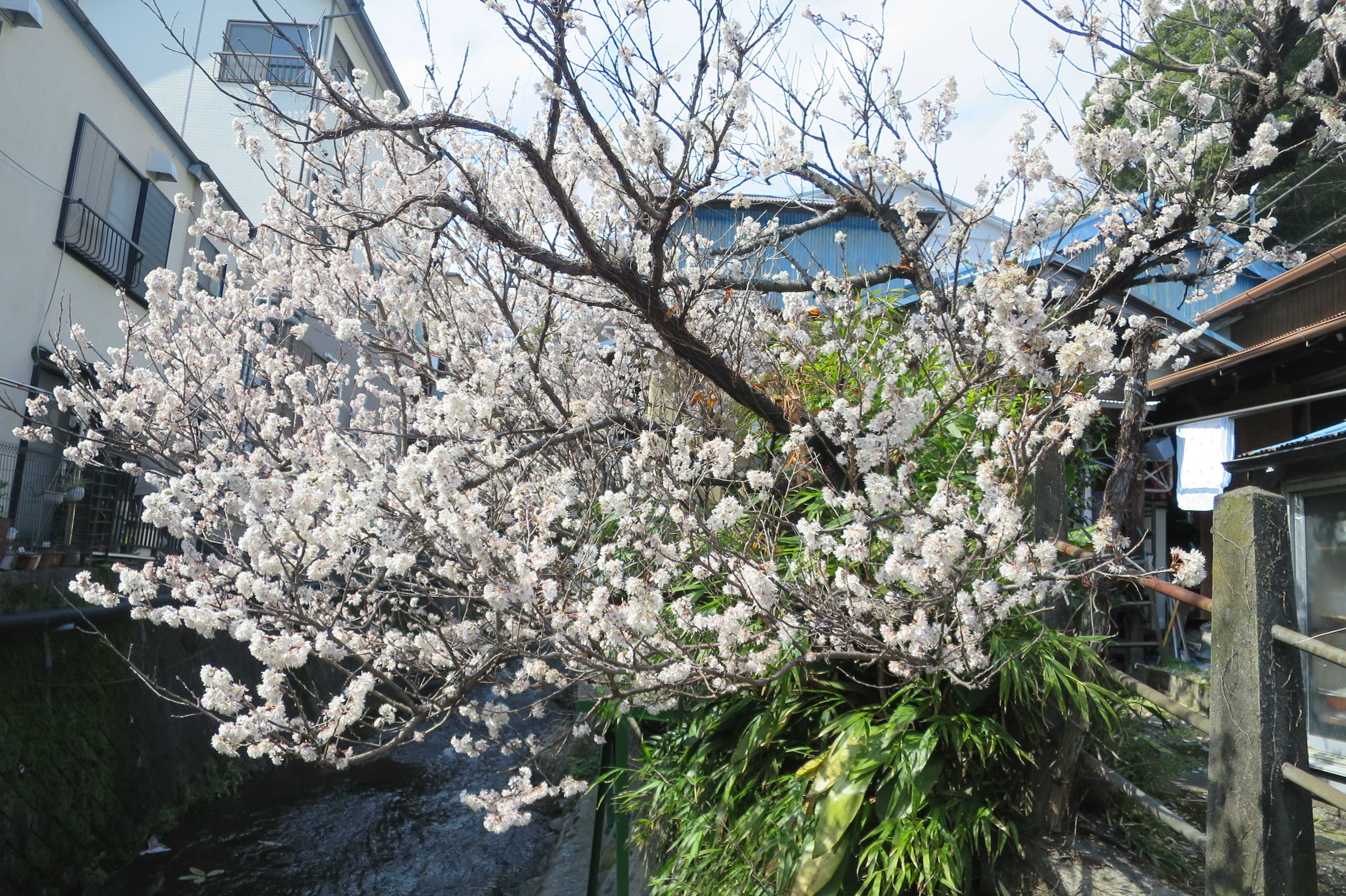 桜満開の熱海