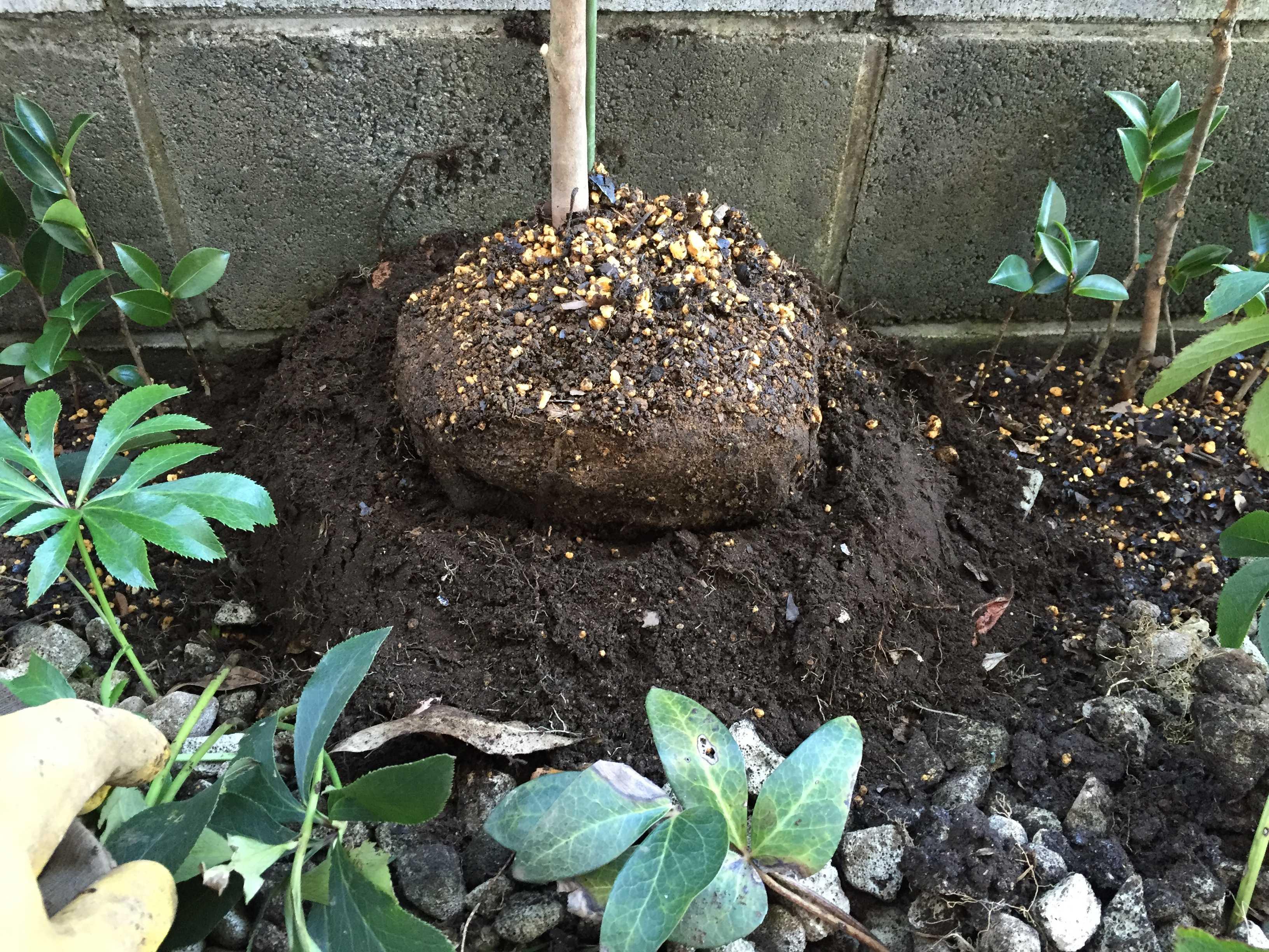 サザンカのタチカンツバキ(立寒椿)の苗木