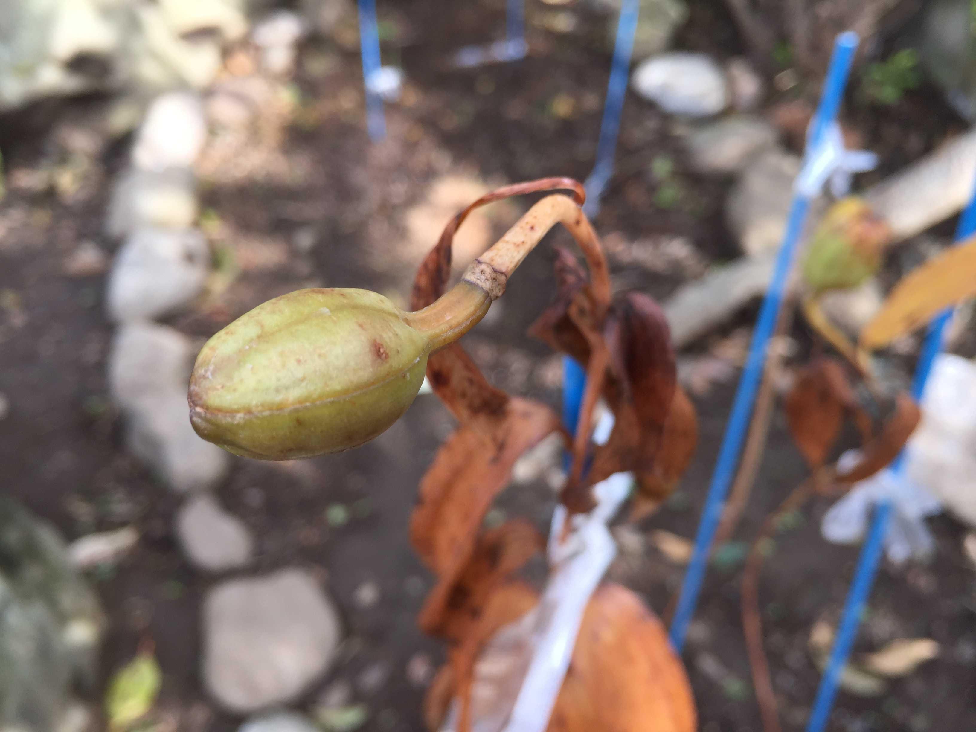 ヤマユリの小さい朔果