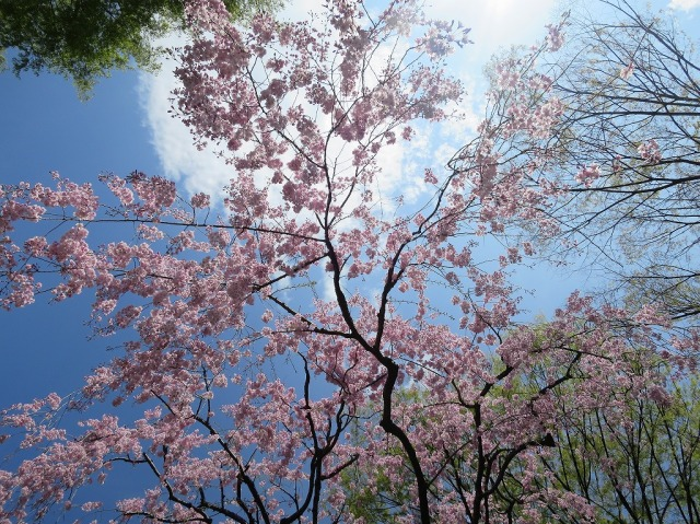 八王子・子安神社の桜