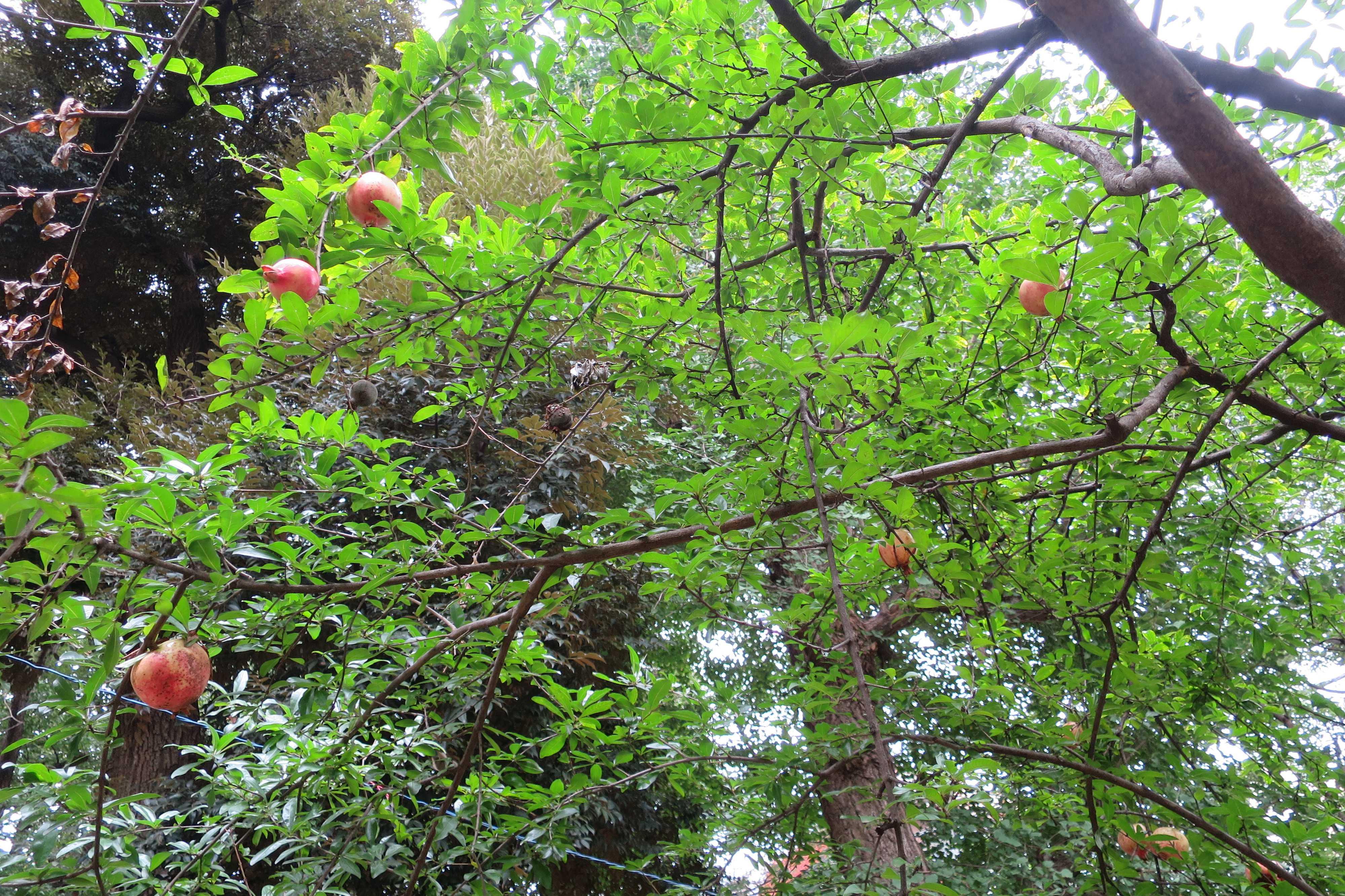 東京 雑司が谷・鬼子母神堂 - ザクロの葉の緑